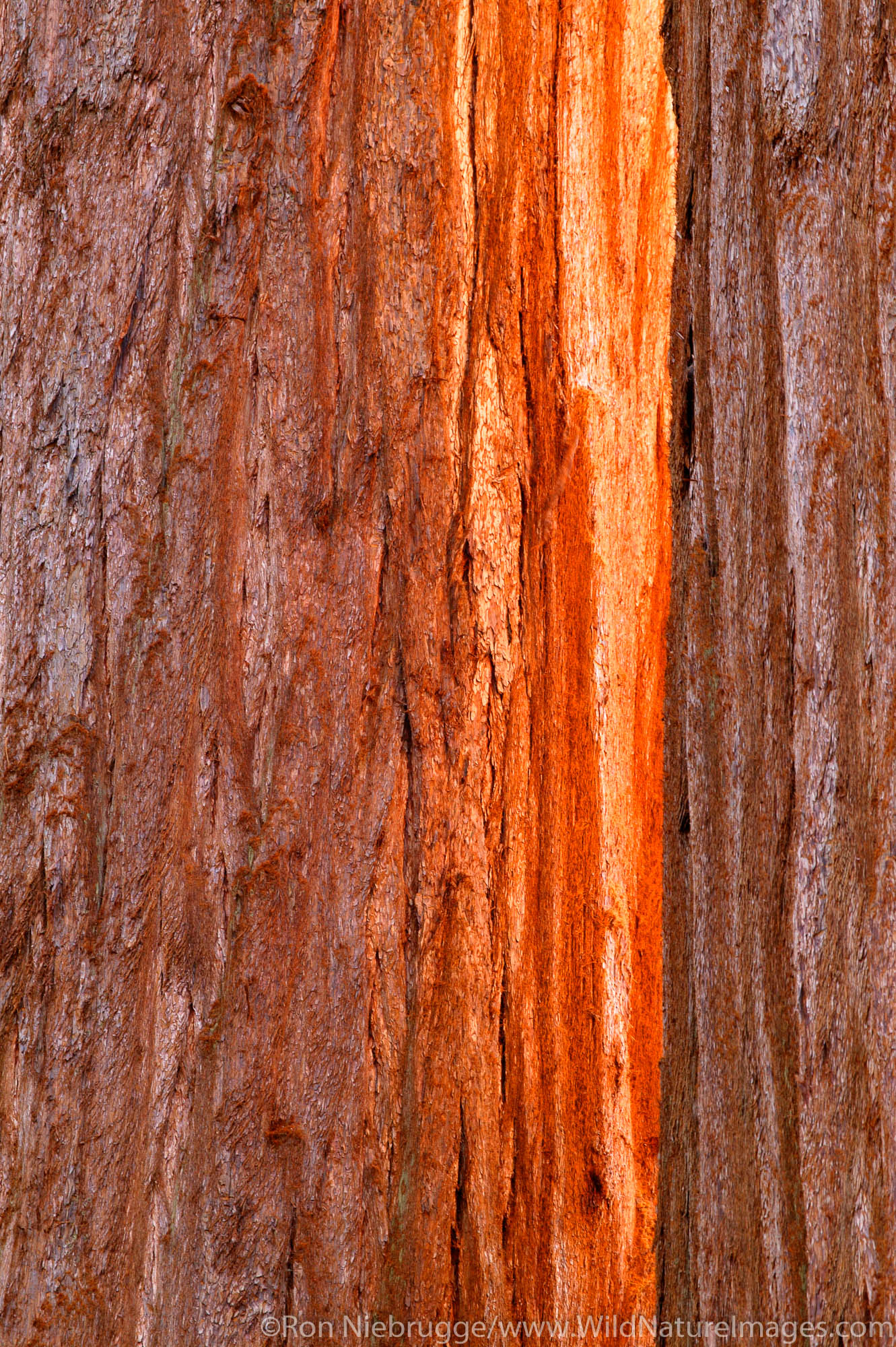 Sun shines on the trunk between two giant Sequoia trees in Sequoia National Park, California.