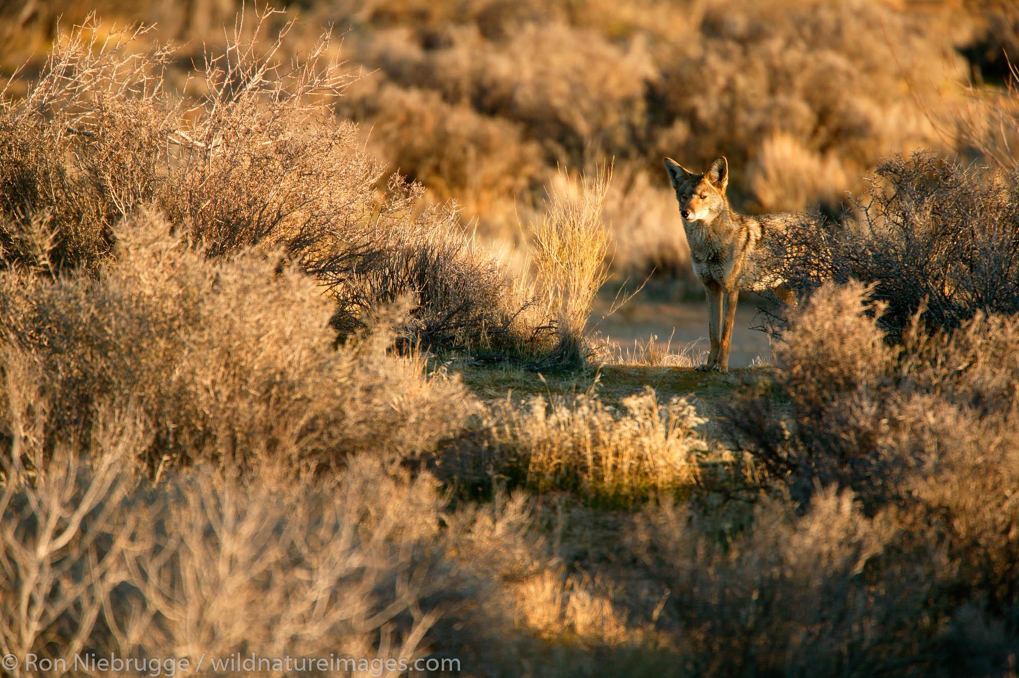 Coyote in the Mojave Desert.