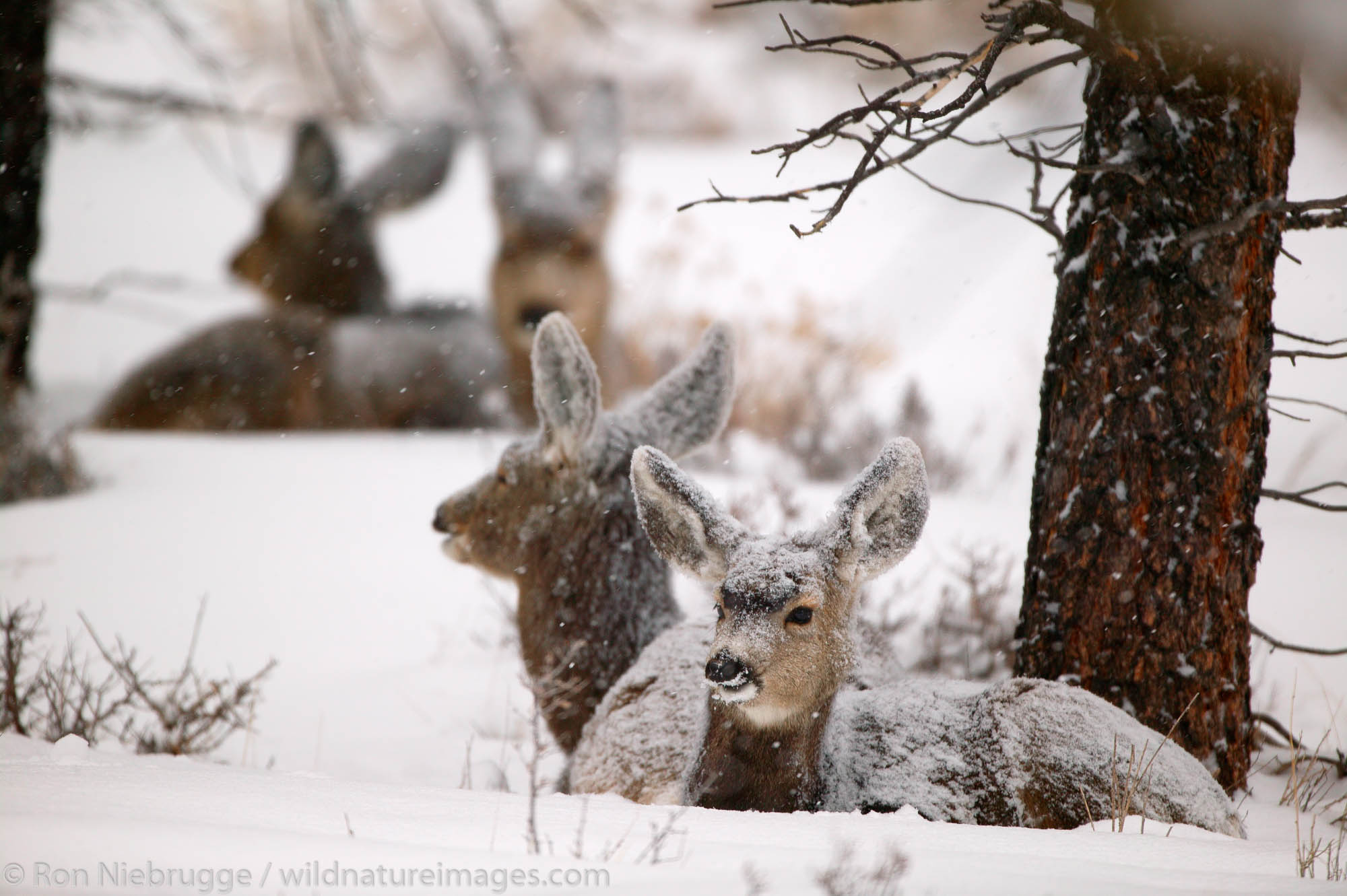 Mule Deer in snow, Bryce National Park, Utah.
