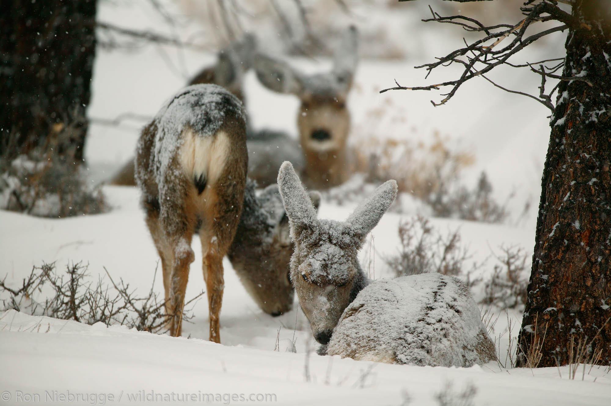 Deer in Bryce National Park, Utah.
