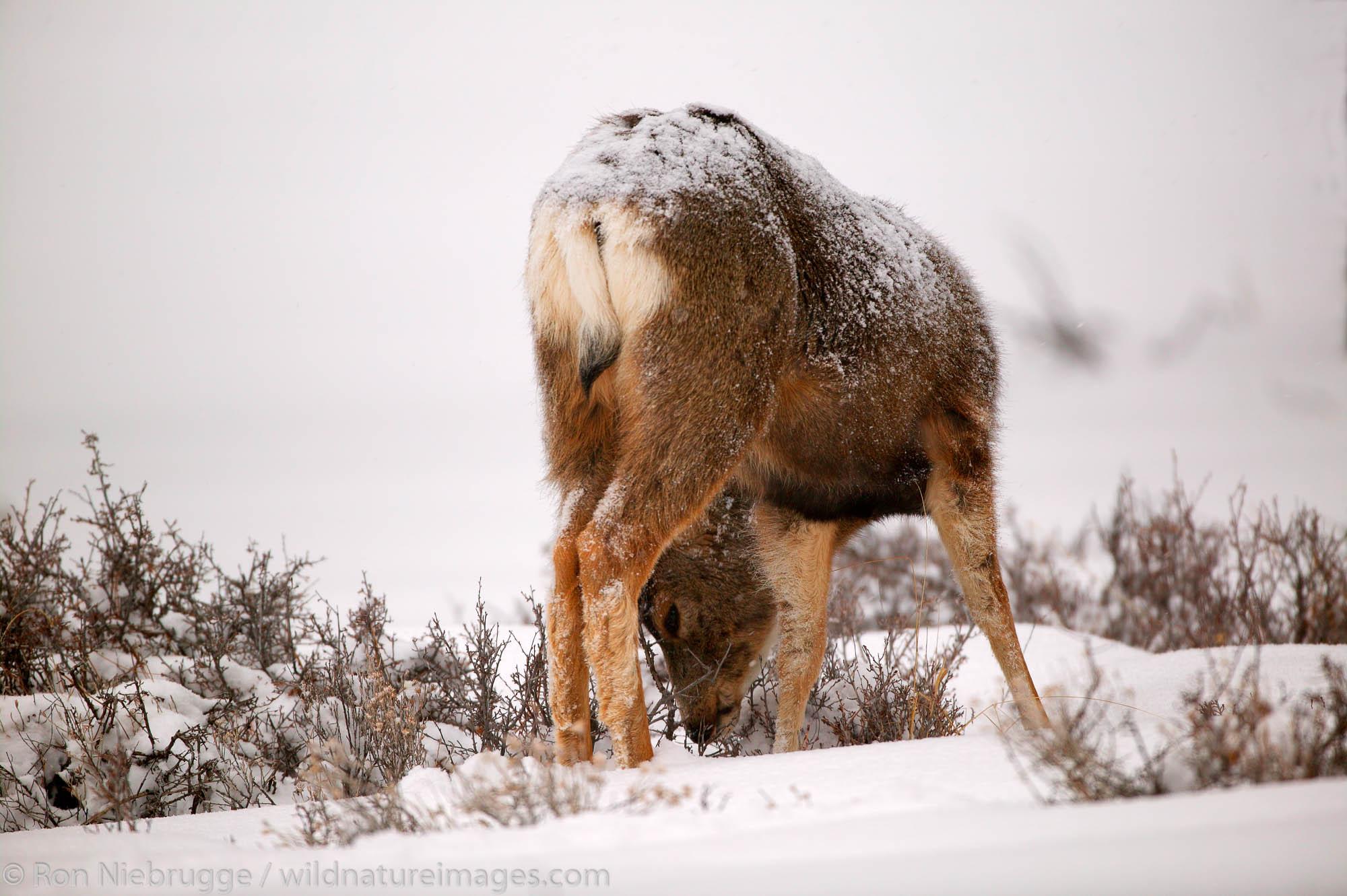 Mule Deer in snow, Bryce National Park, Utah.