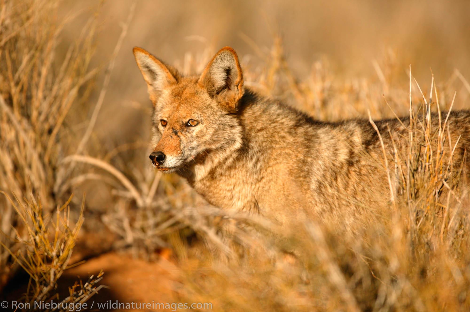 coyote , photo