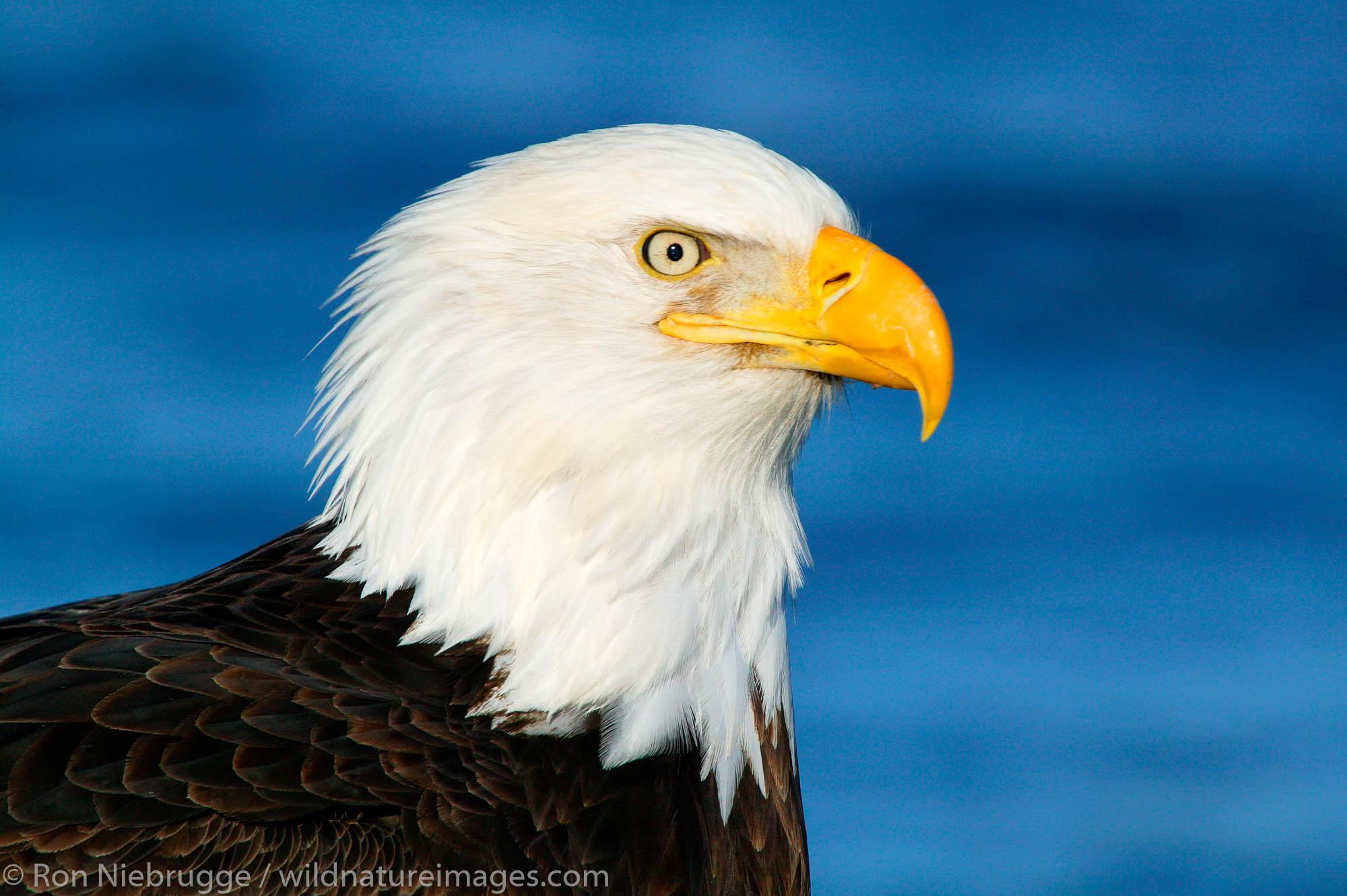 Adult Bald Eagle, Homer, Alaska.