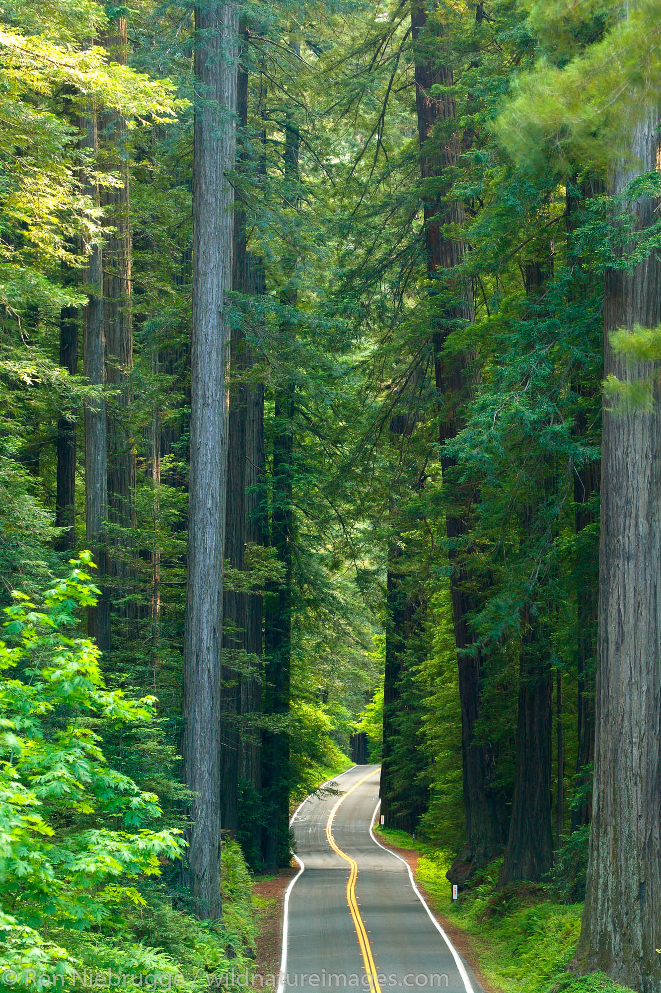 The Avenue of the Giants, Humboldt Redwoods State Park, California.