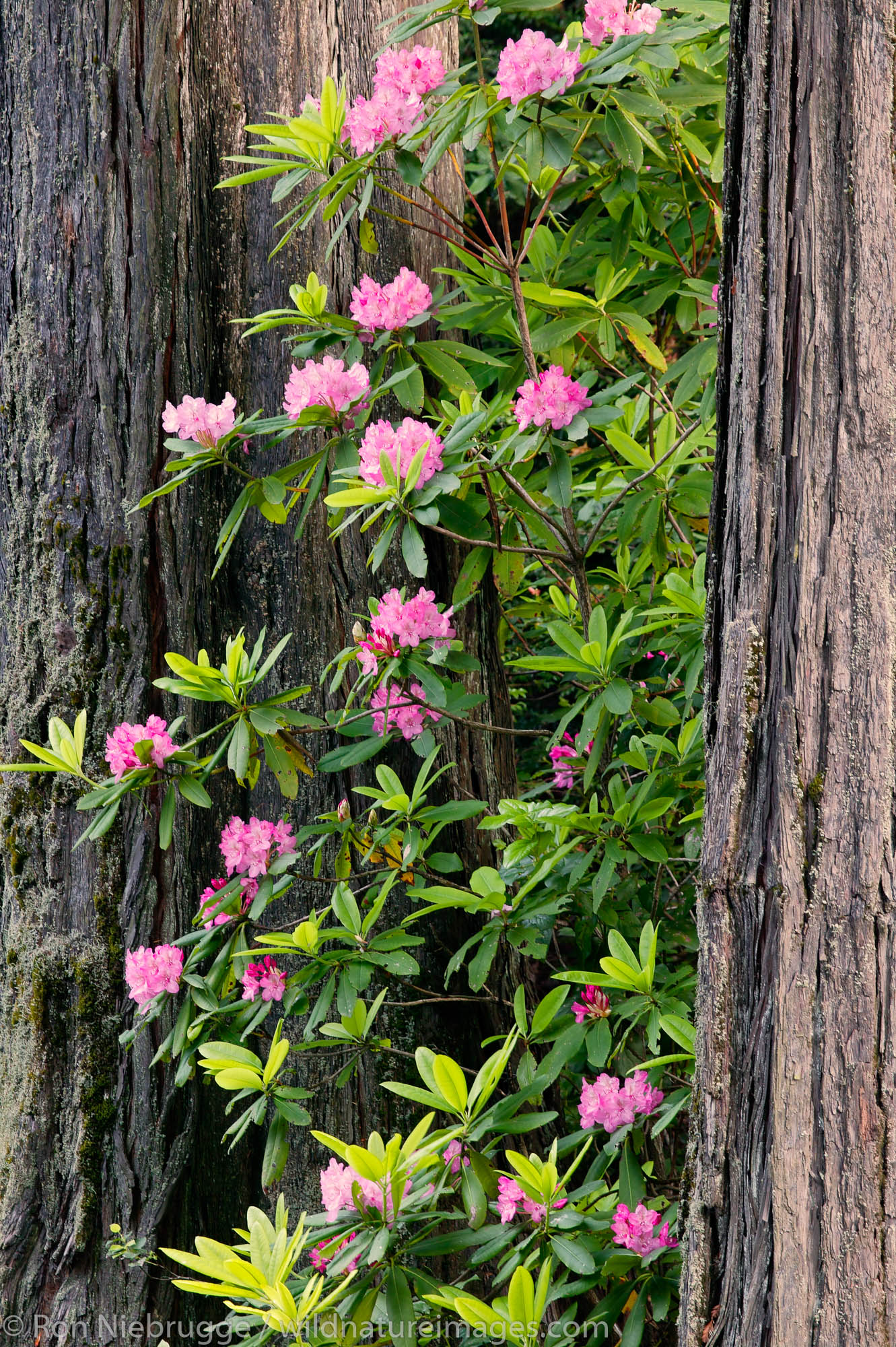 Rhododendrons in the Del Norte Coast Redwoods State Park, Redwood National and State Parks, California.
