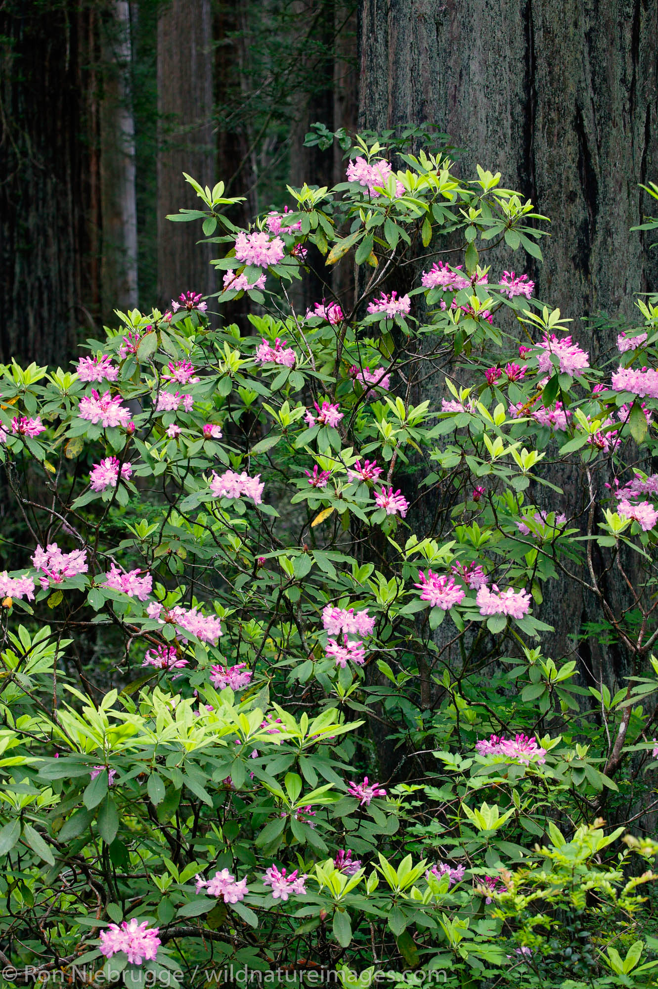 Rhododendrons in Del Norte Coast Redwoods State Park, part of the Redwoods State and National Parks, California.