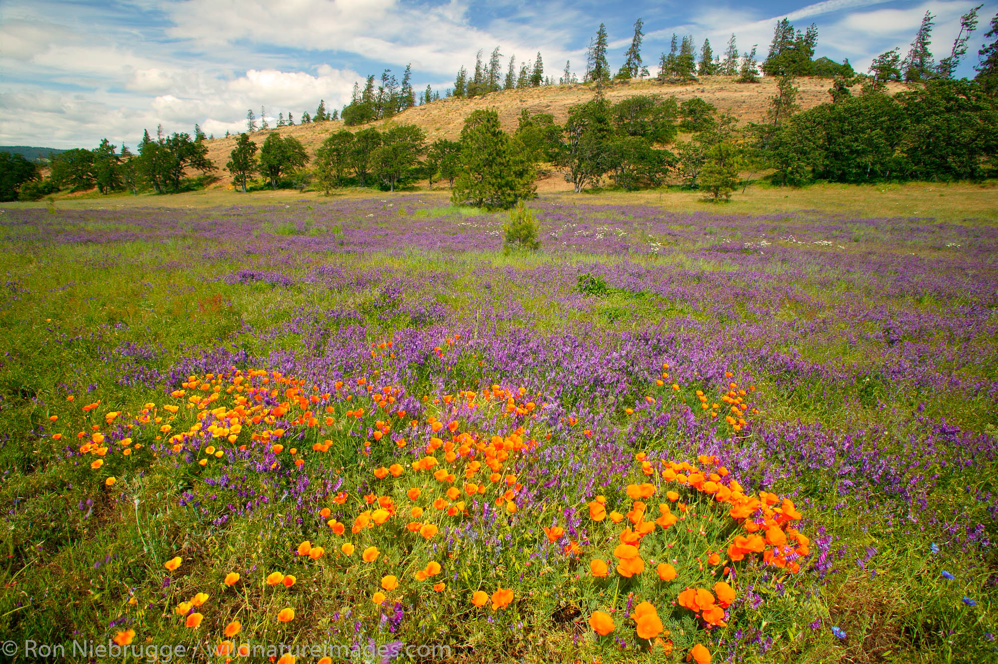 Wildflowers along the Historic Columbia River Highway, Columbia River Gorge National Scenic Area, Oregon.