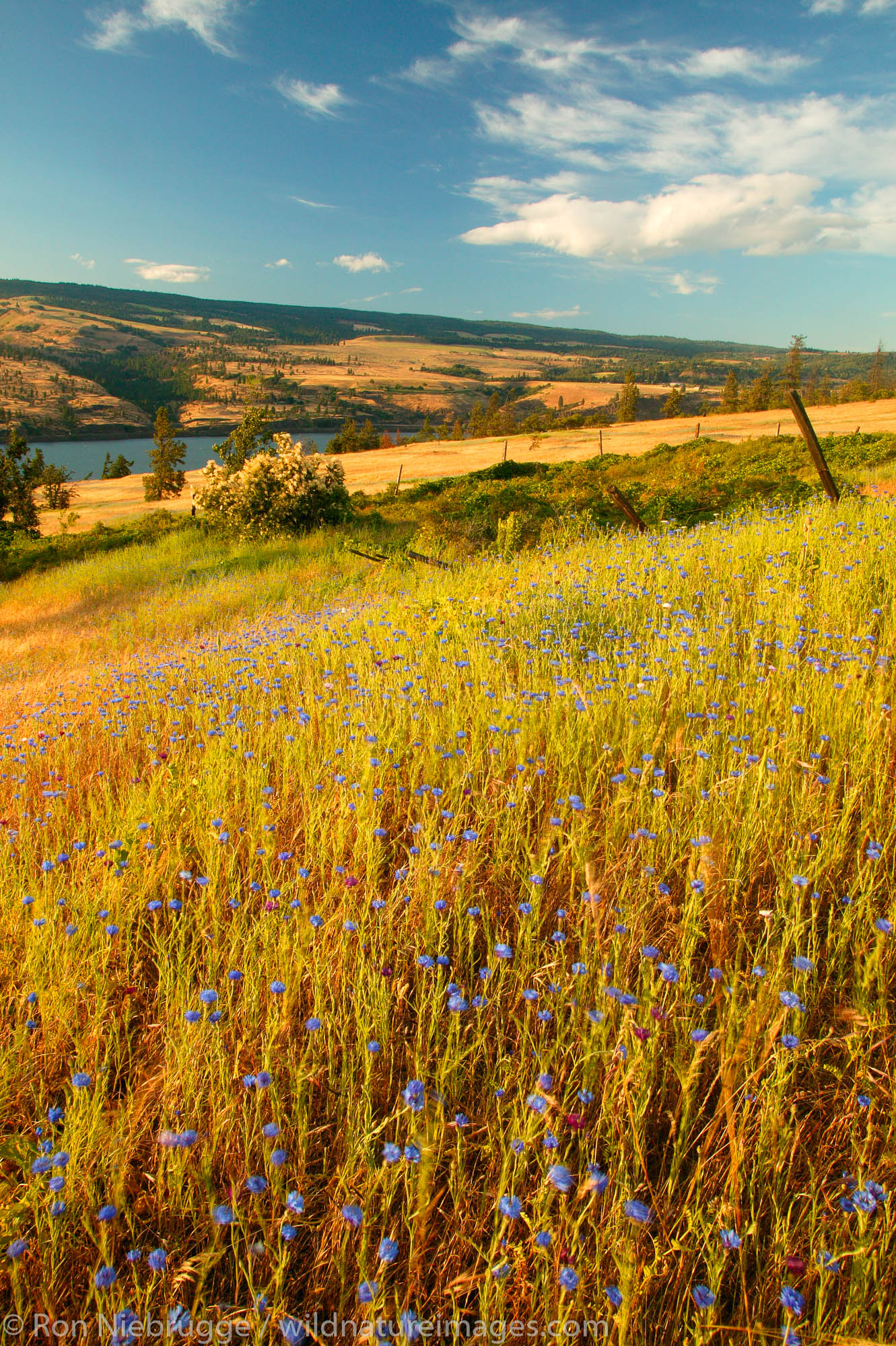 The Columbia River and fields of wildflowers along the Historic Columbia River Highway, Columbia River Gorge National Scenic...