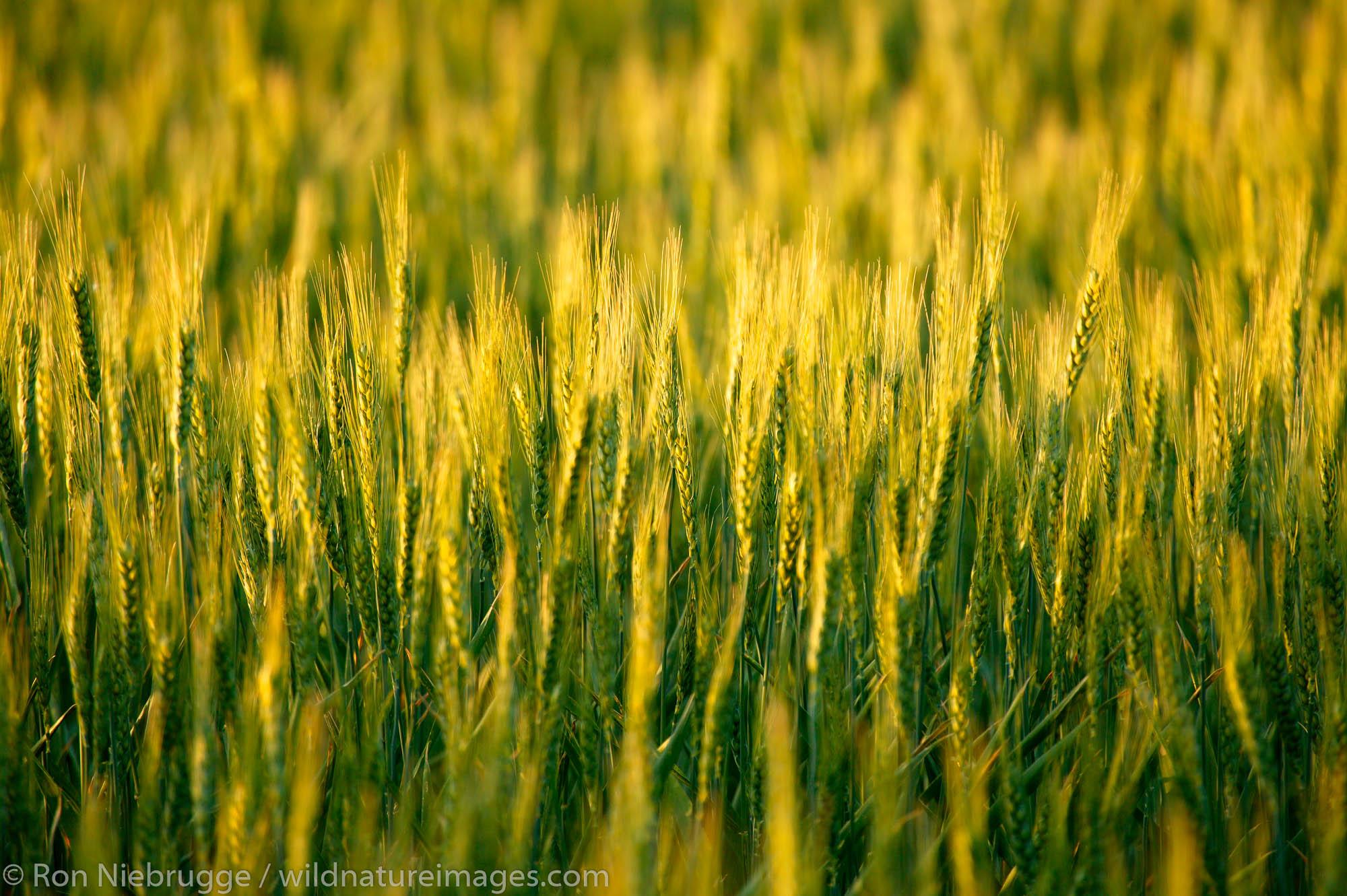 Wheat farmland near Ritzville, Eastern Washington.