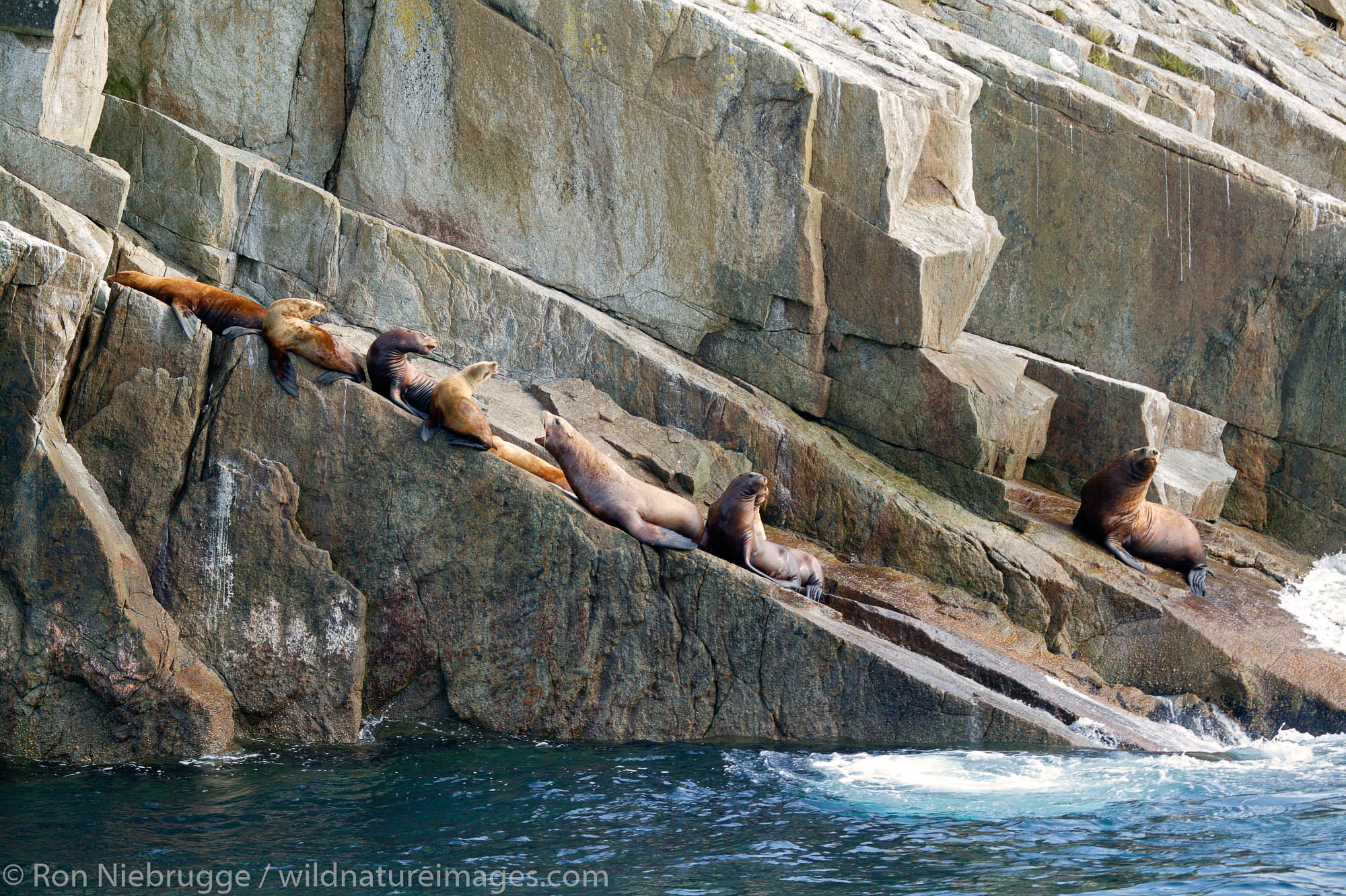 Steller (Northern) Sealions on the Chiswell Islands and the Alaska Maritime National Wildlife Refuge, Aialik Bay, Kenai Fjords...
