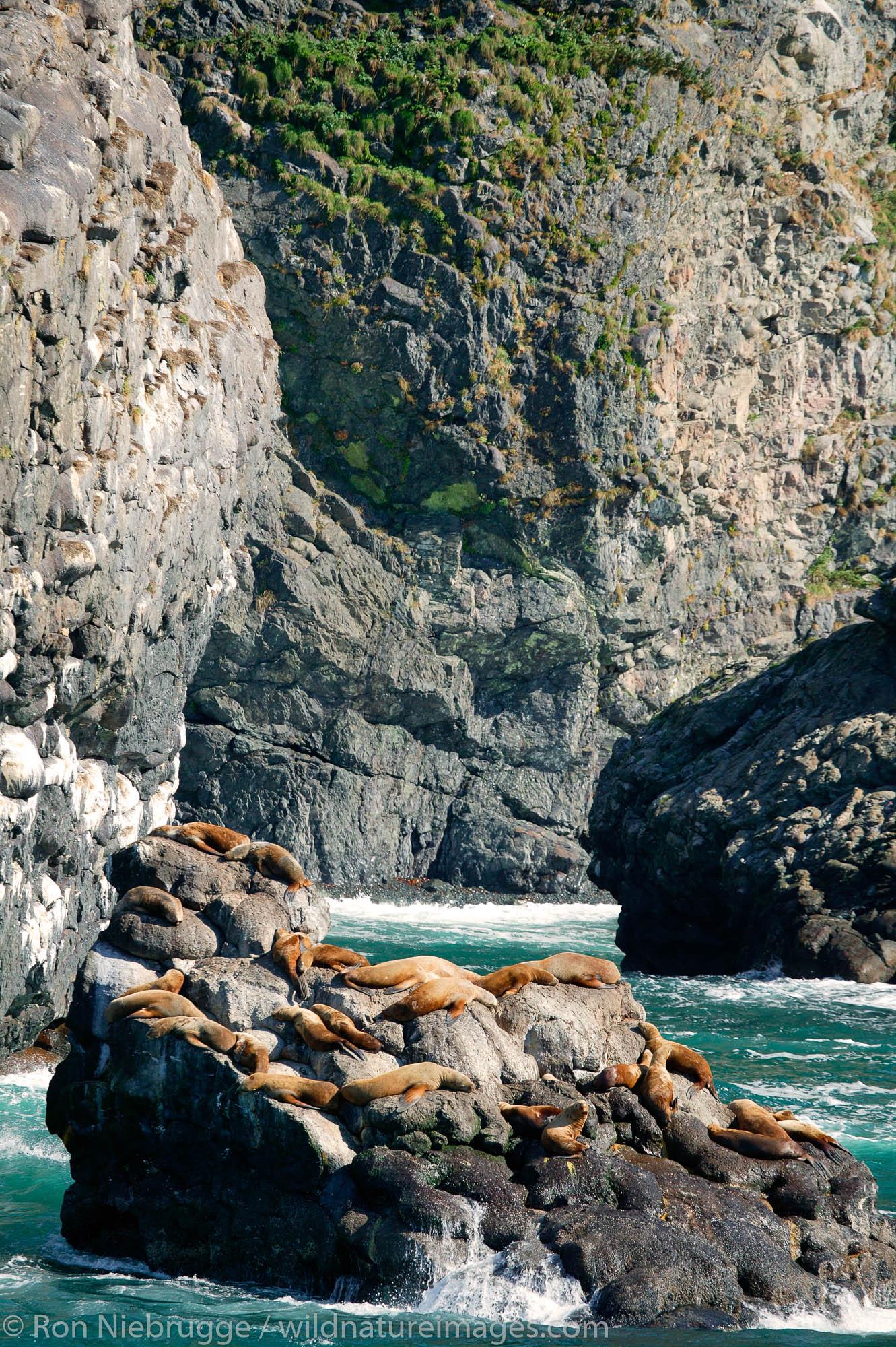 Northern Steller Sea Lions, Resurrection Bay, near Seward, Alaska.