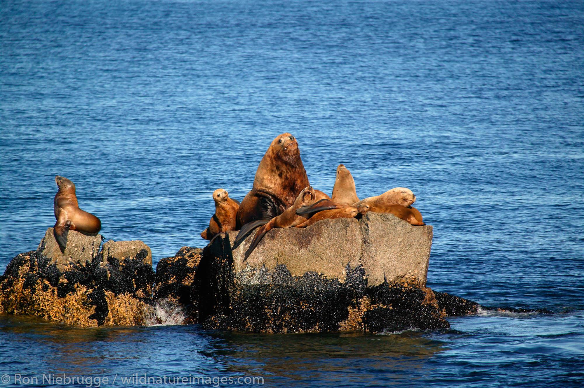Northern Steller Sea lions, Chiswell Islands, part of the Alaska Maritime National Wildlife Refuge, Kenai Fjords National Park...