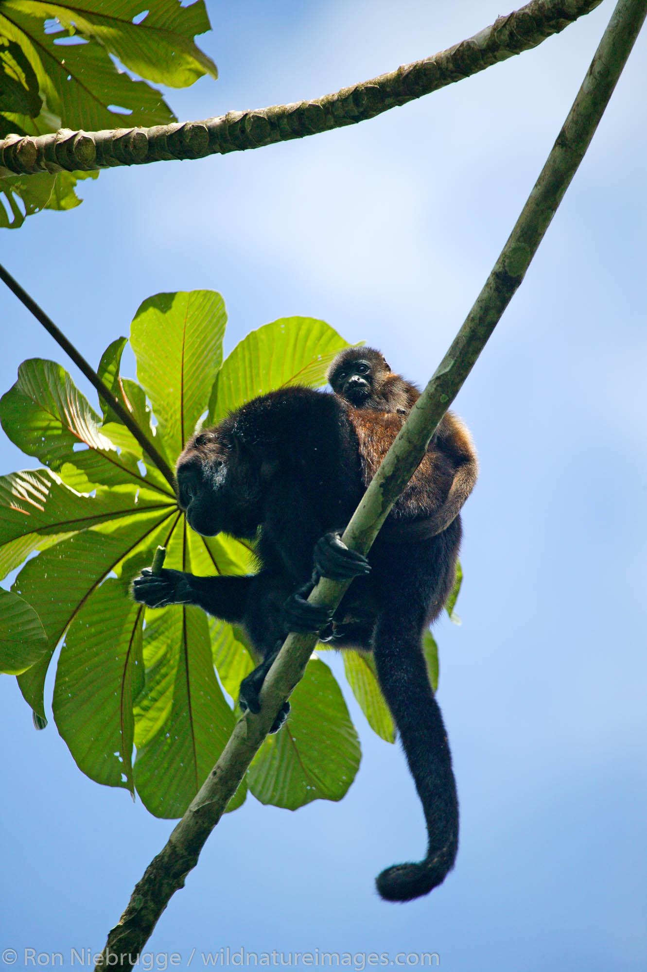 Mantled Howler Monkeys (Alouatta palliata) Tabacon Hot Spring Resort and Spa, Costa Rica.