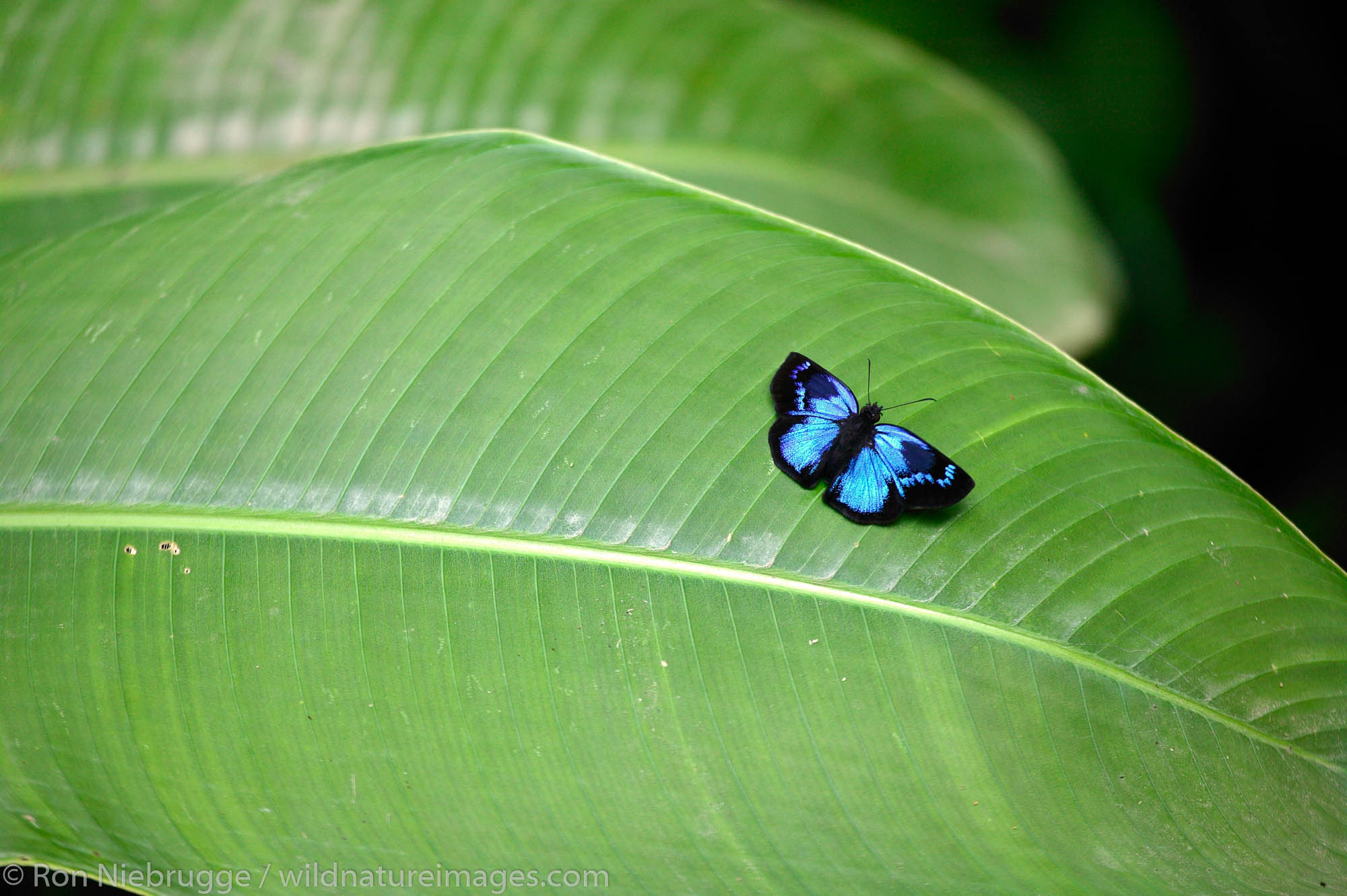 Blue butterfly, Manuel Antonio National Park, Manuel Antonio, Costa Rica.
