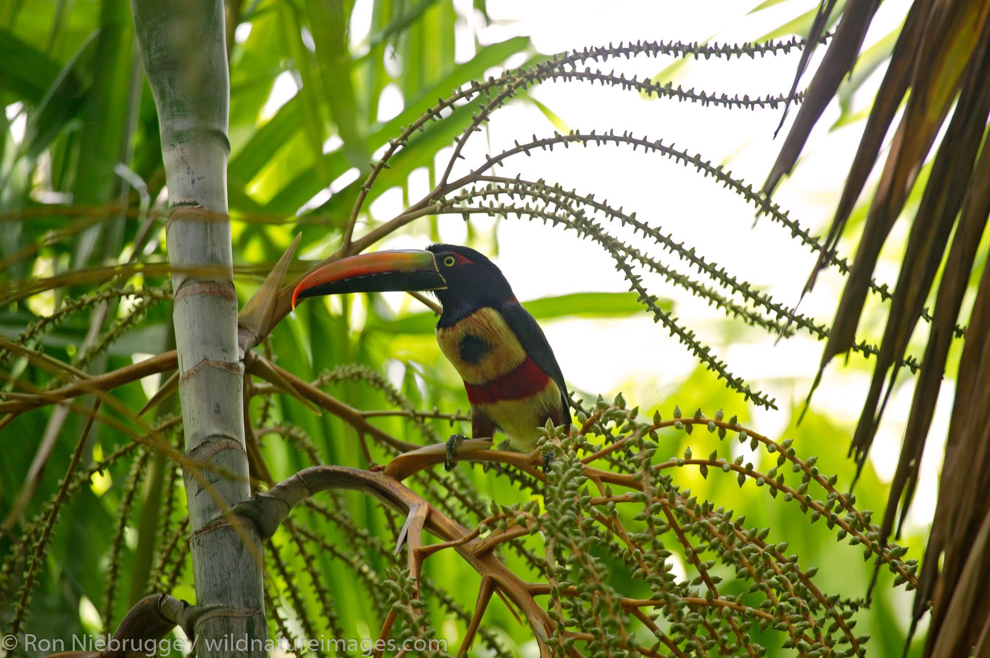 Fiery-billed Aracari (Pteroglossus frantzii) Manuel Antonio, Costa Rica.