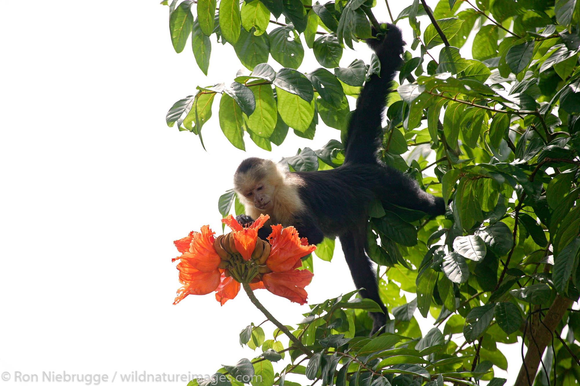 White-faced Capuchin Monkeys (Cebus capucinus), Manuel Antonio National Park, Manuel Antonio, Costa Rica.