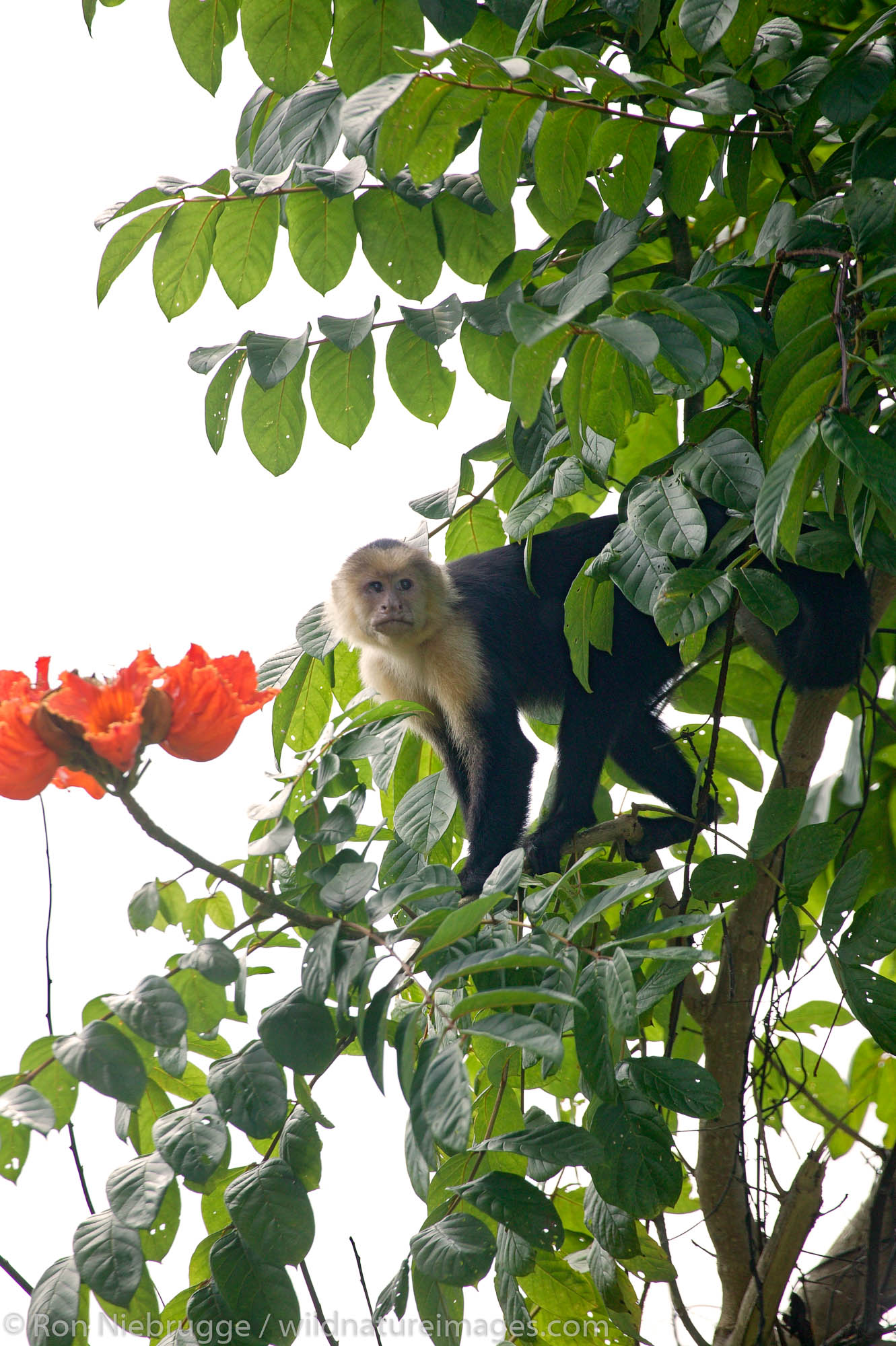 White-faced Capuchin Monkeys (Cebus capucinus), Manuel Antonio National Park, Manuel Antonio, Costa Rica.