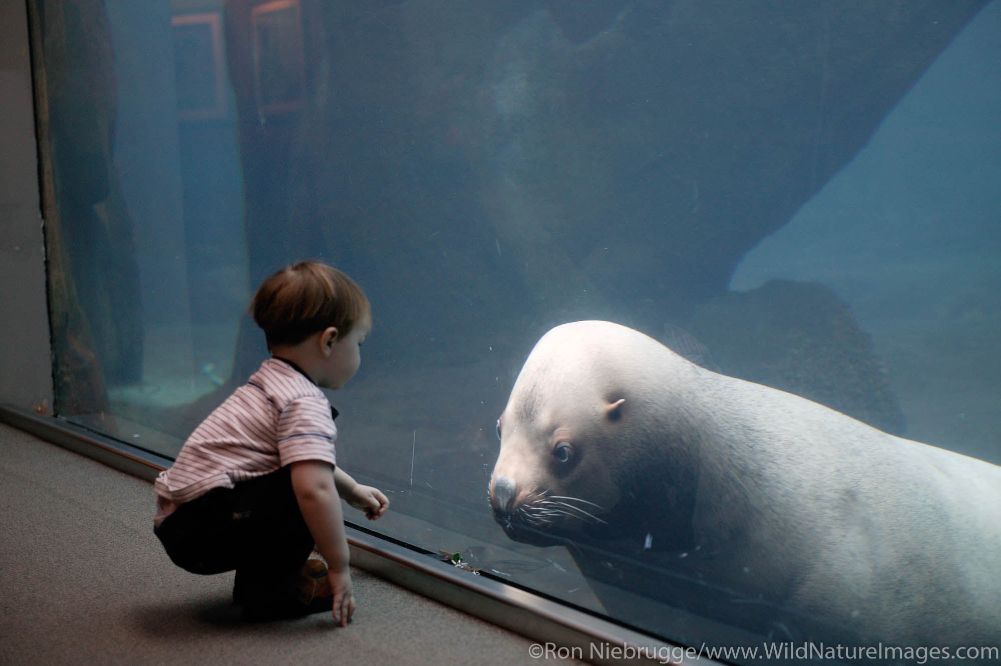 A young boy watches Woody the Sealion at the Alaska Sealife Center, Seward, Alaska.