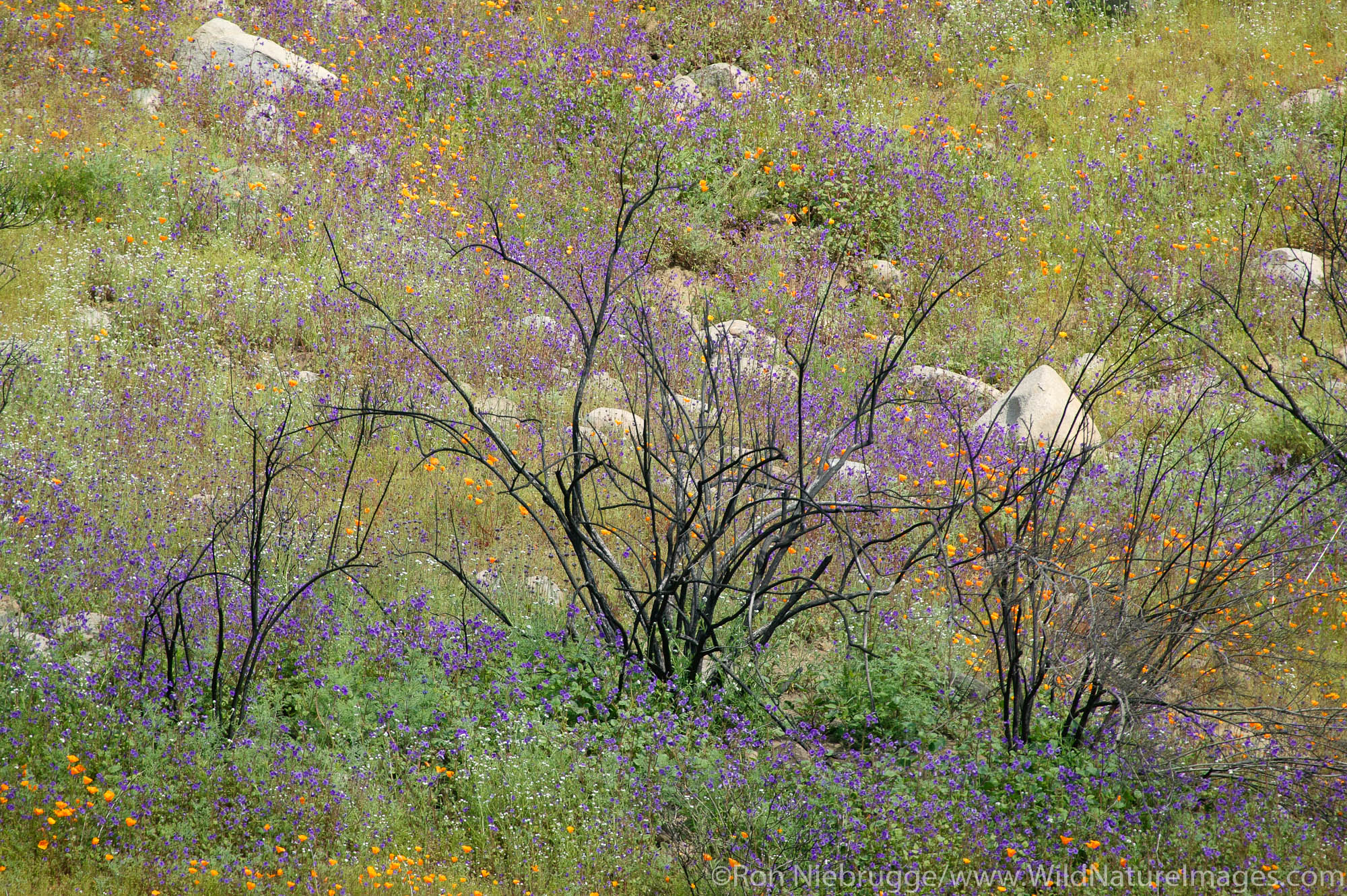 Burnt branches and spring wildflowers near Lake Elsinore, California.