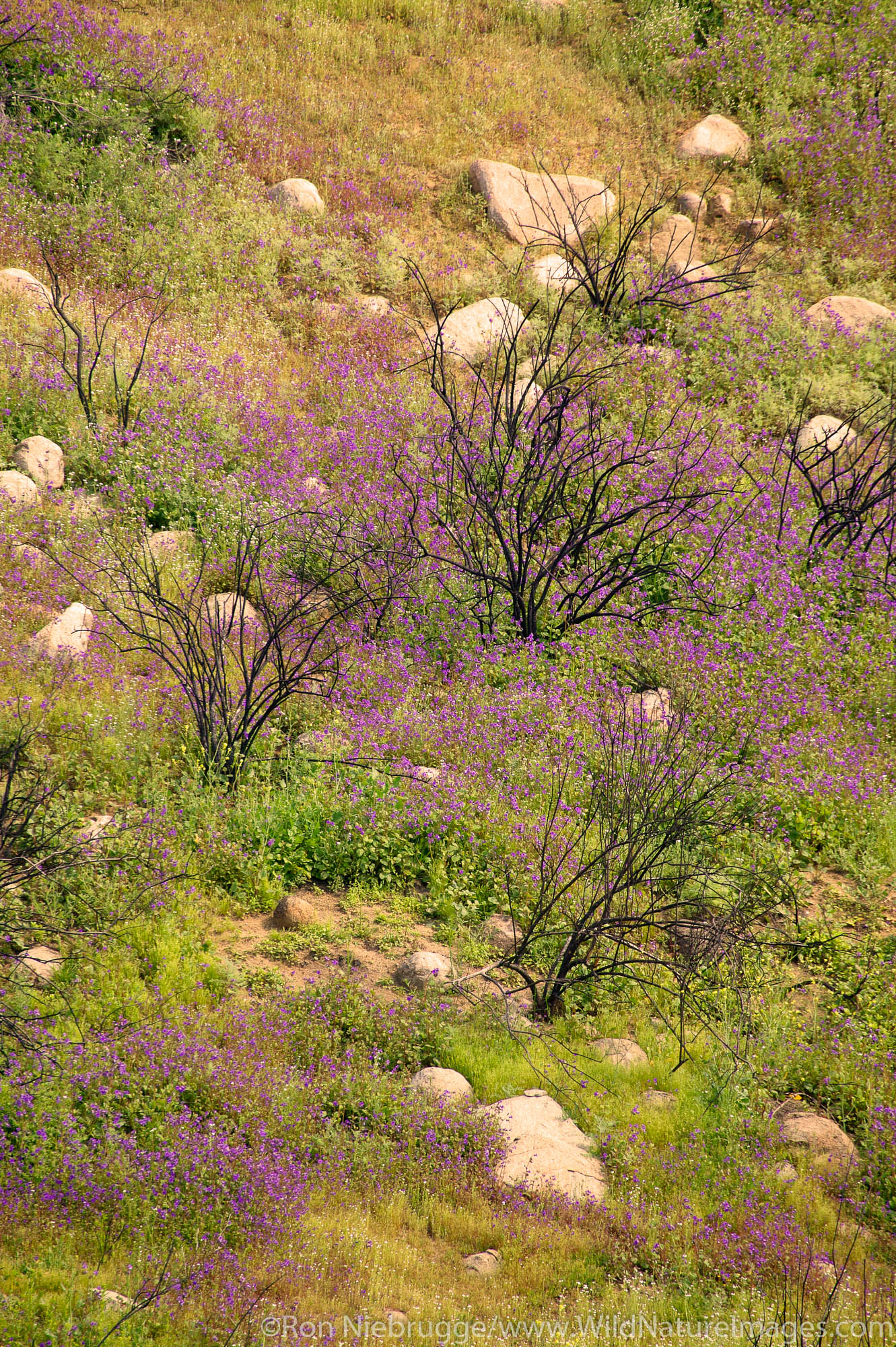 Spring wildflowers among dead branches from a recent wild fire near Lake Elsinore, California.