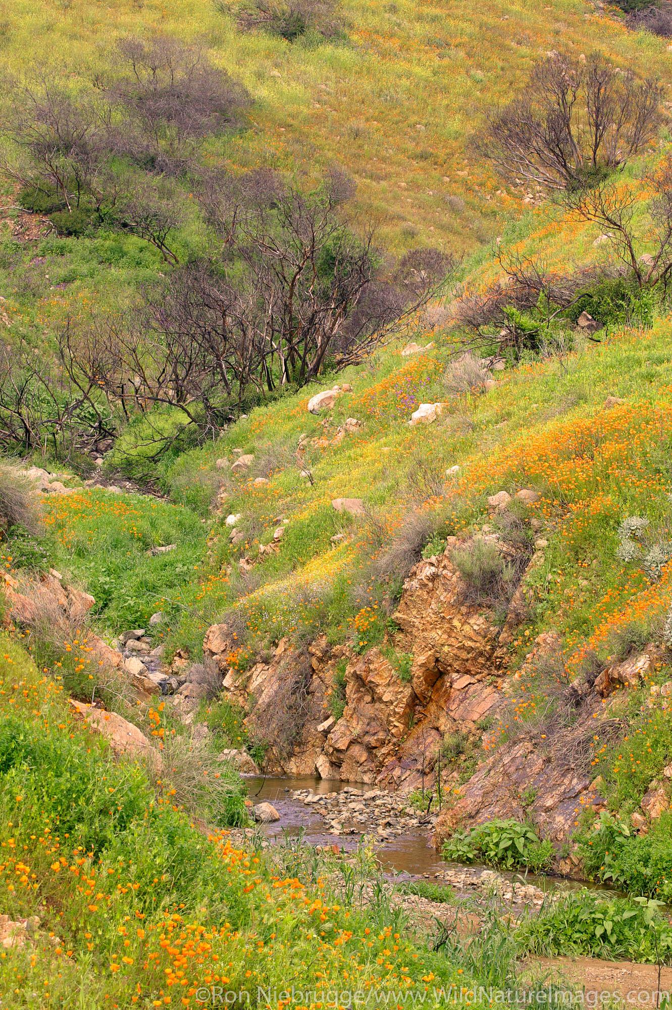 Spring wildflowers near Lake Elsinore, California.