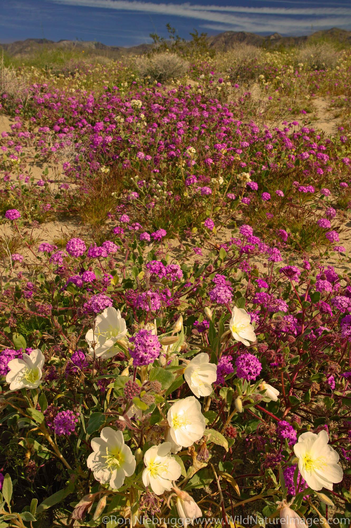 Sand Verbena (Abronia villosa) and Dune Evening Primrose (Oenothera deltoides) on sand dunes near Arroyo Salado, in Anza-Borrego...