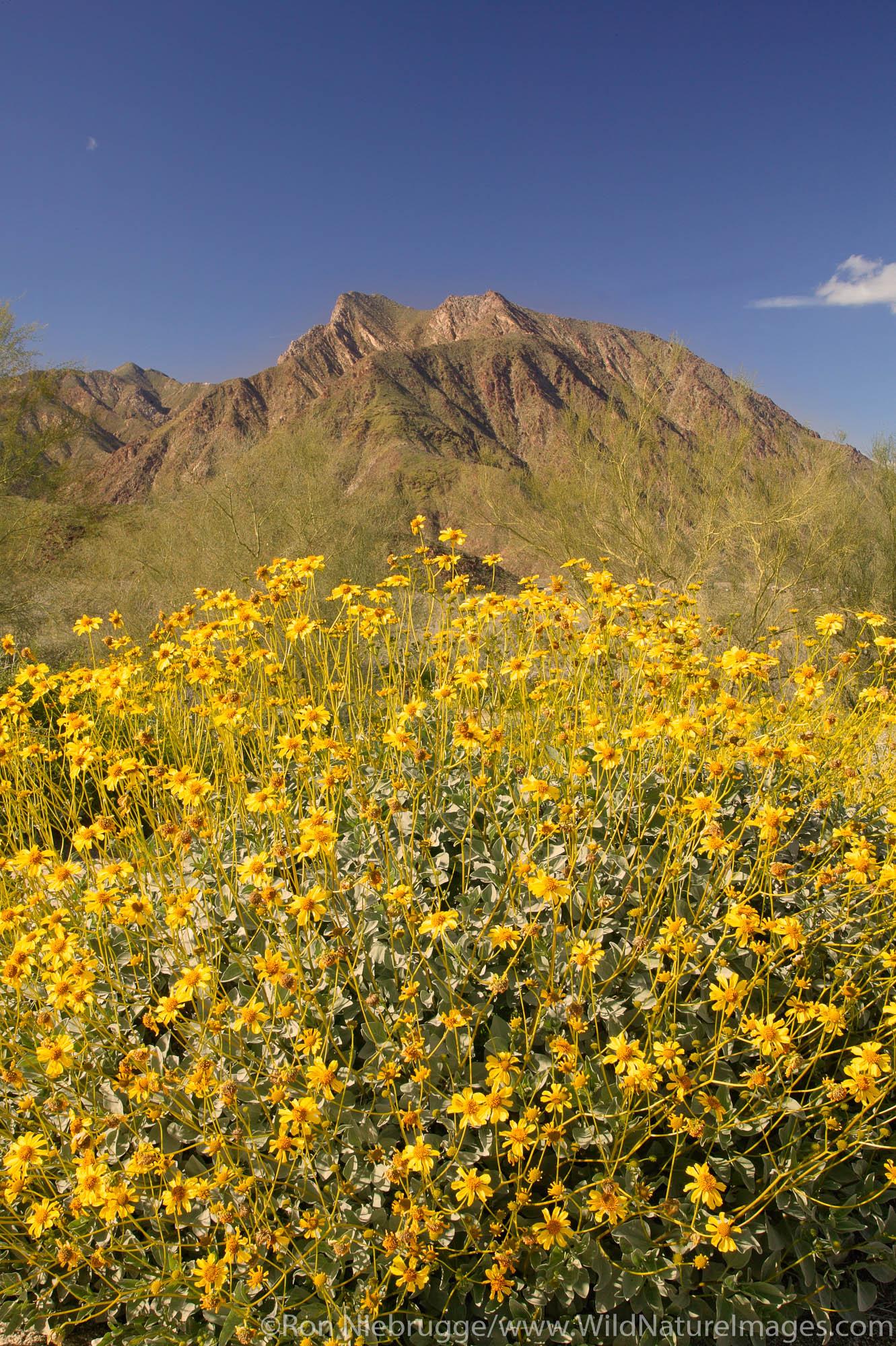 San Ysidro Mountain and Brittlebush (Encelia farinosa) from near the Borrego Springs Visitor Center, Anza-Borrego Desert State...