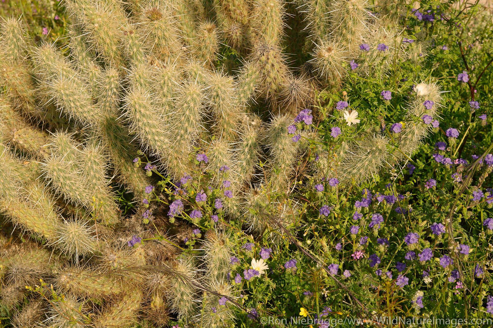 Wild Heliotrope also called Common phacelia,  Distans phacelia or even blue-eyed scorpion weed (Phacelia distans) Anza-Borrego...