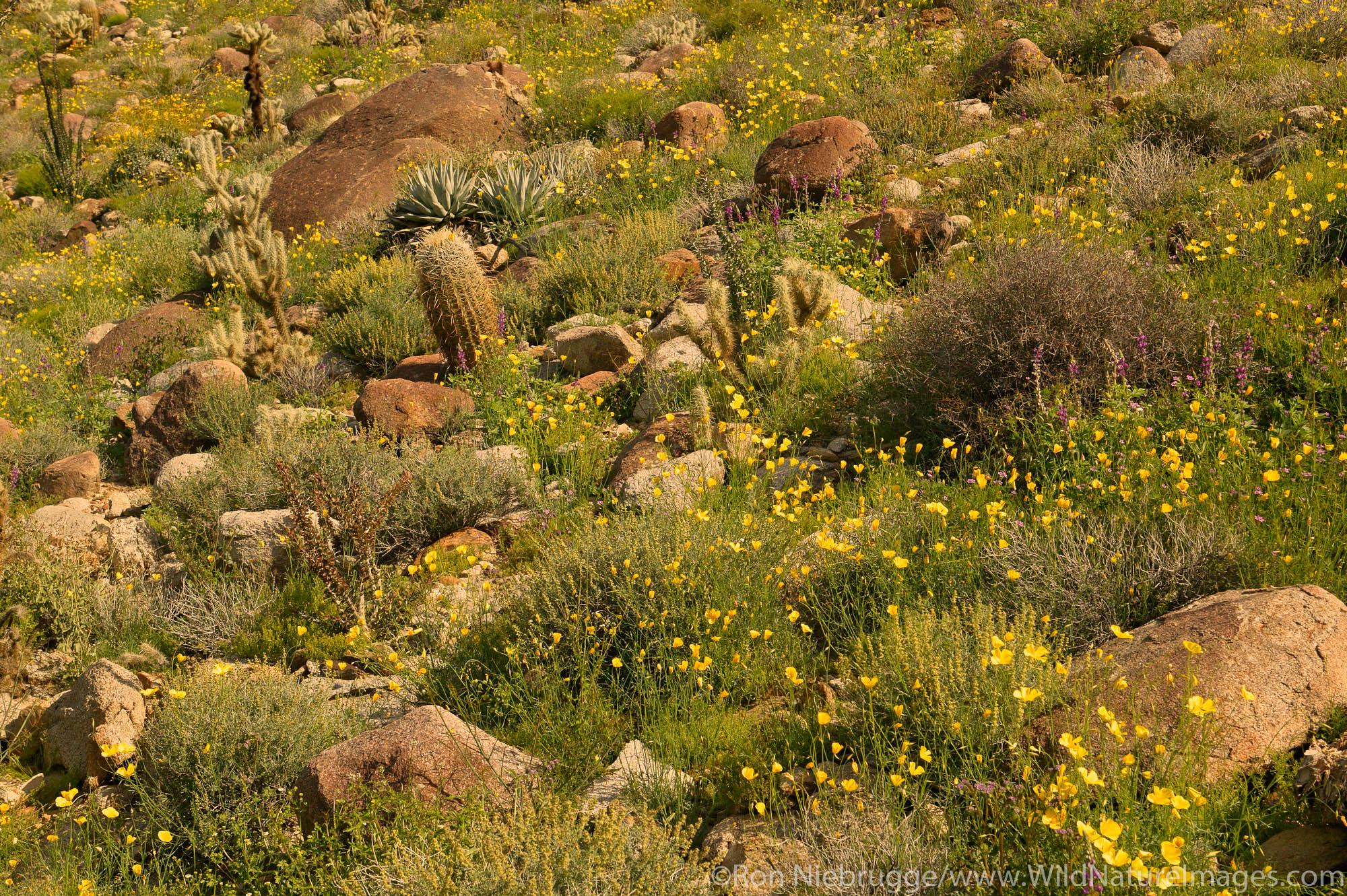 Wildflowers including Arizona Lupine (Lupinus arizonicus), poppies and Brittlebush (Encelia farinosa) Ocotillo  (Fouquieria splendens...