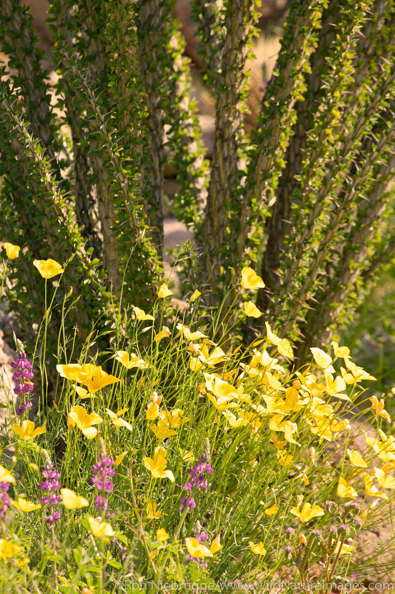 Wildflowers including Lupine Desert Gold Poppy or Goldenpoppy (Eschscholzia glyptosperma) Brittlebush (Encelia farinosa) Ocotillo...