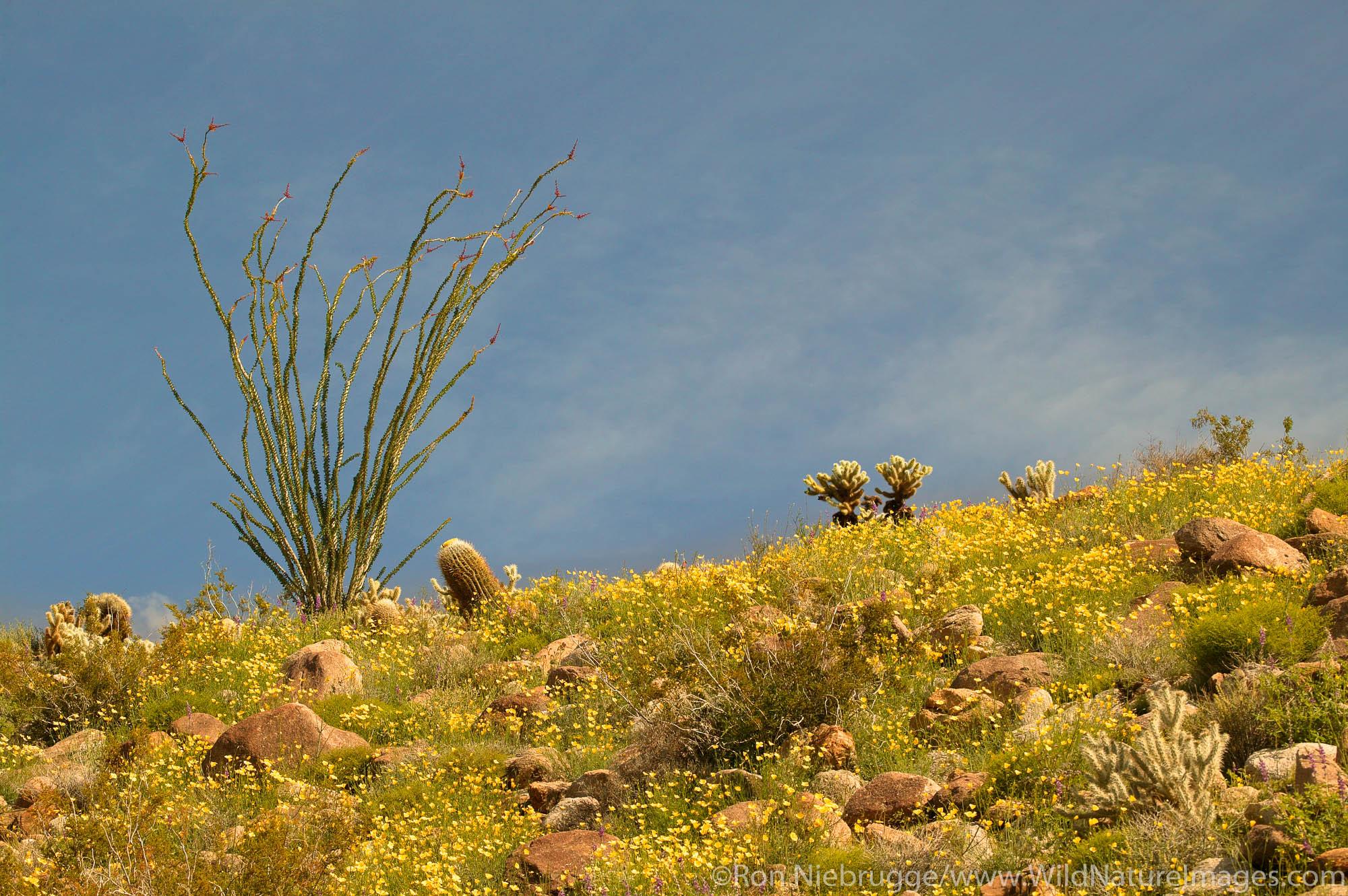 Wildflowers including Arizona Lupine (Lupinus arizonicus), Desert Gold Poppy or Goldenpoppy (Eschscholzia glyptosperma) Brittlebush...
