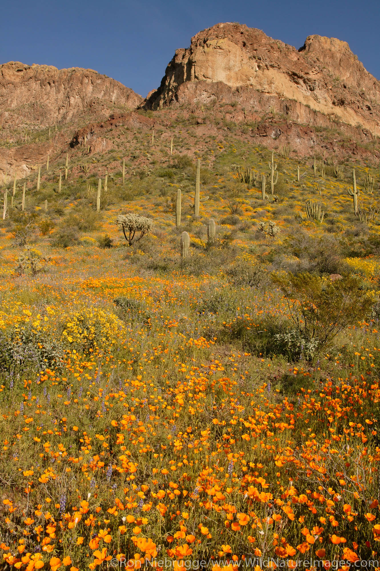 Organ Pipe Cactus (Stenocereus thurberi), Mexican Gold Poppies (Eschscholzia californica subsp. mexicana) and the Deablo Mountains...