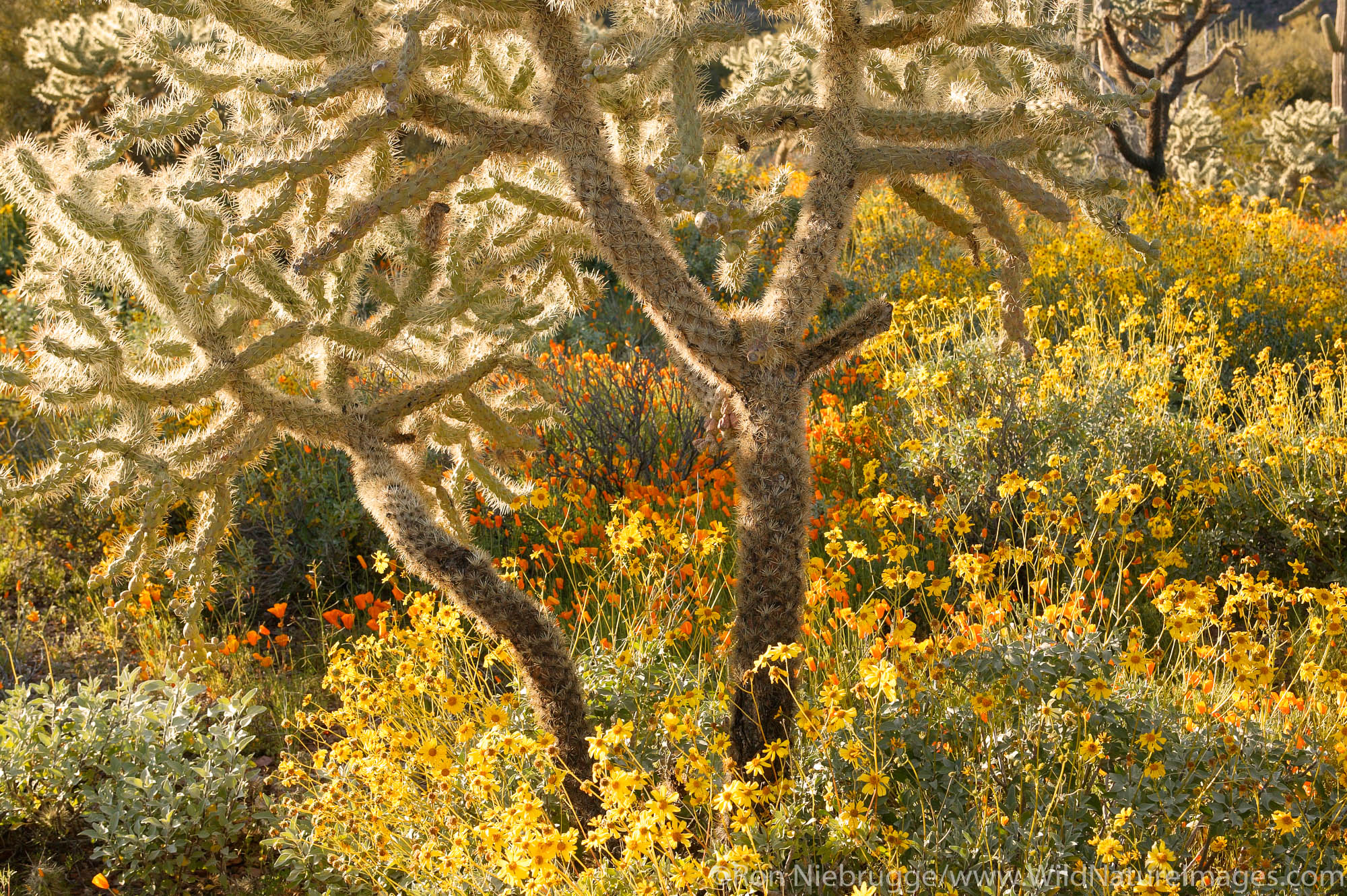 Teddy-bear Cholla cactus (Opuntia bigelovii) among the Mexican Gold Poppies (Eschscholzia californica subsp. mexicana) and Brittlebush...