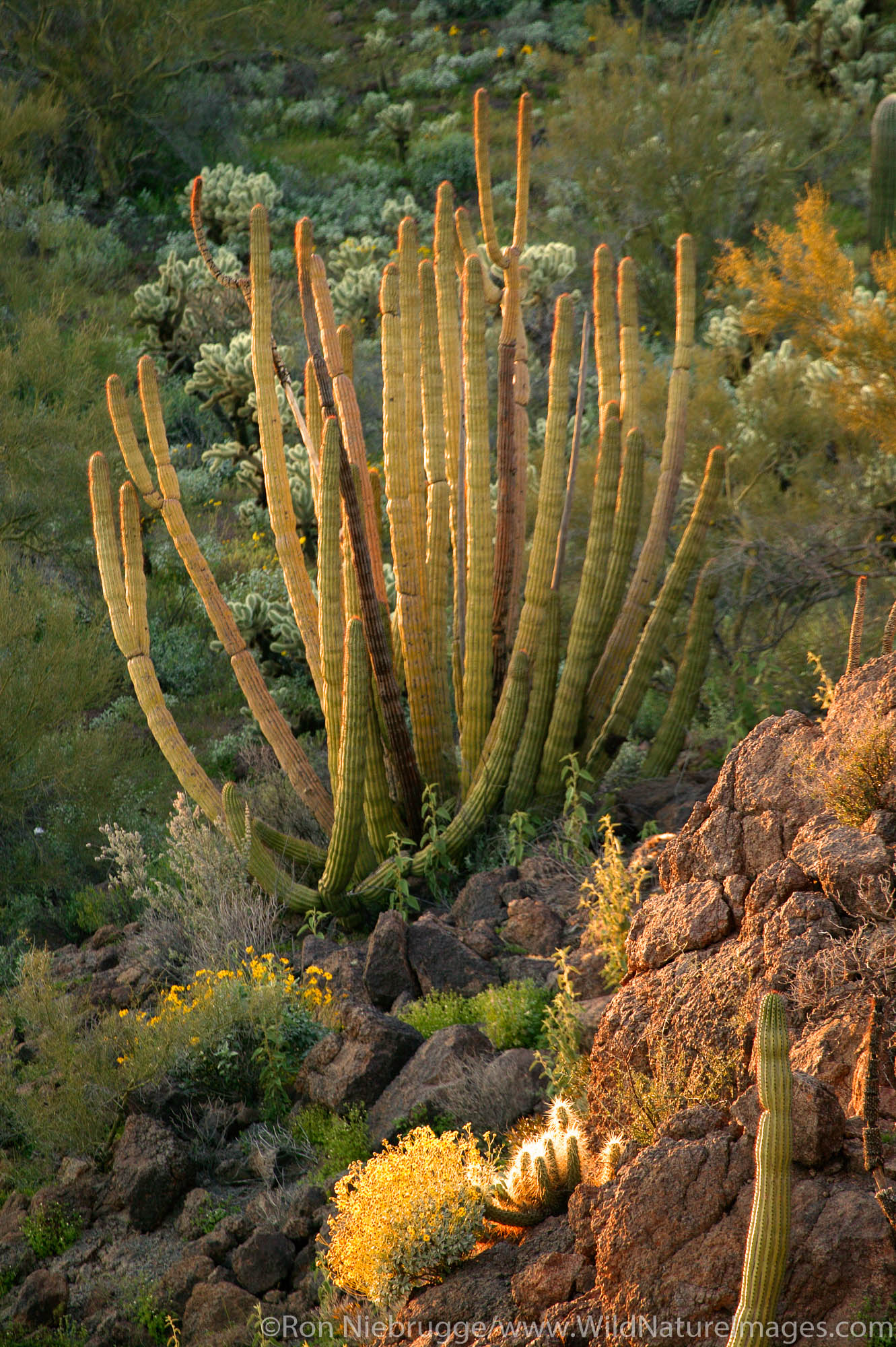 Organ Pipe Cactus (Stenocereus thurberi) Brittlebush (Encelia farinosa) in evening light from Ajo Mountain Drive, Organ Pipe...