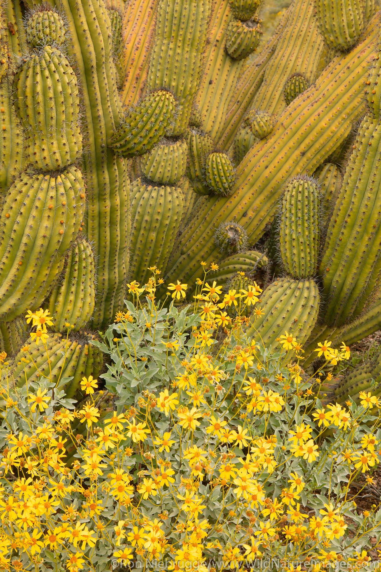 Organ Pipe Cactus (Stenocereus thurberi), Organ Pipe Cactus National Monument, Arizona.