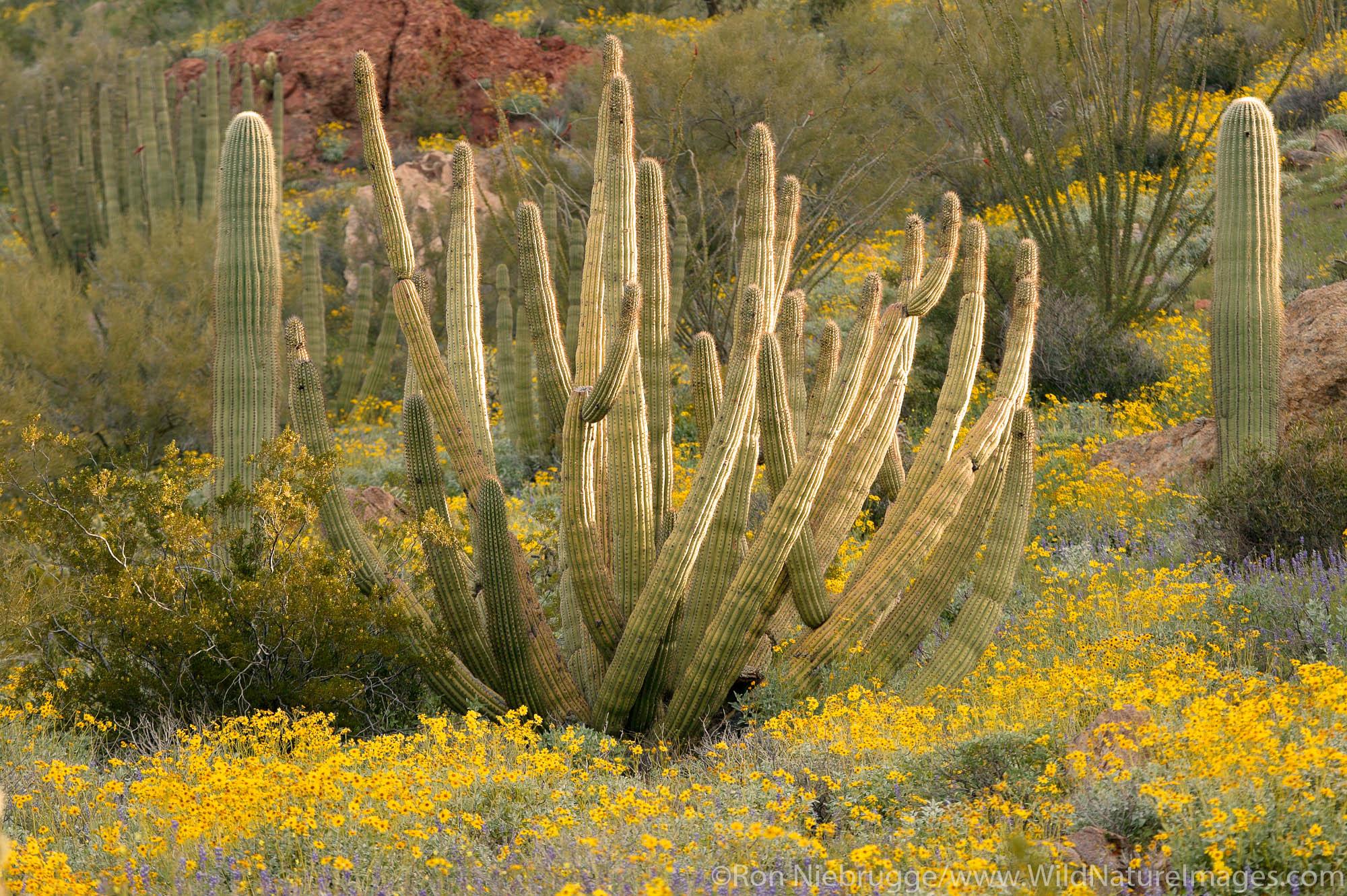 Organ Pipe Cactus (Stenocereus thurberi) with Brittlebush (Encelia farinosa) and lupine (Lupinus sparsiflorus), Organ Pipe Cactus...