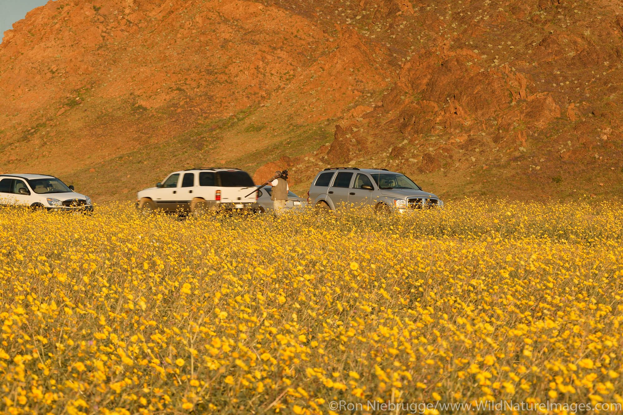 Visitors view the fields of hairy desert sunflower, in Death Valley often called desert gold (Geraea canescens), near Ashford...