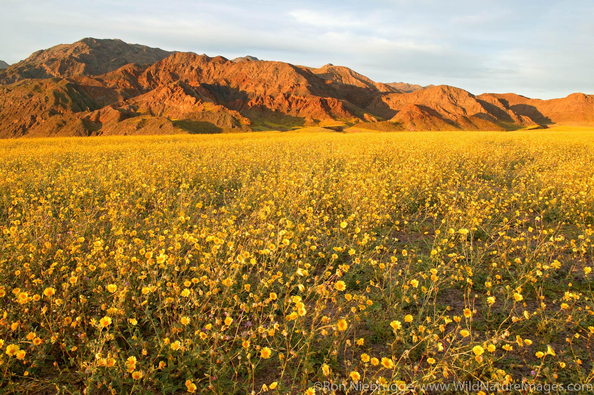 Fields of hairy desert sunflower, in Death Valley often called desert gold (Geraea canescens), near Ashford Mill, Death Valley...