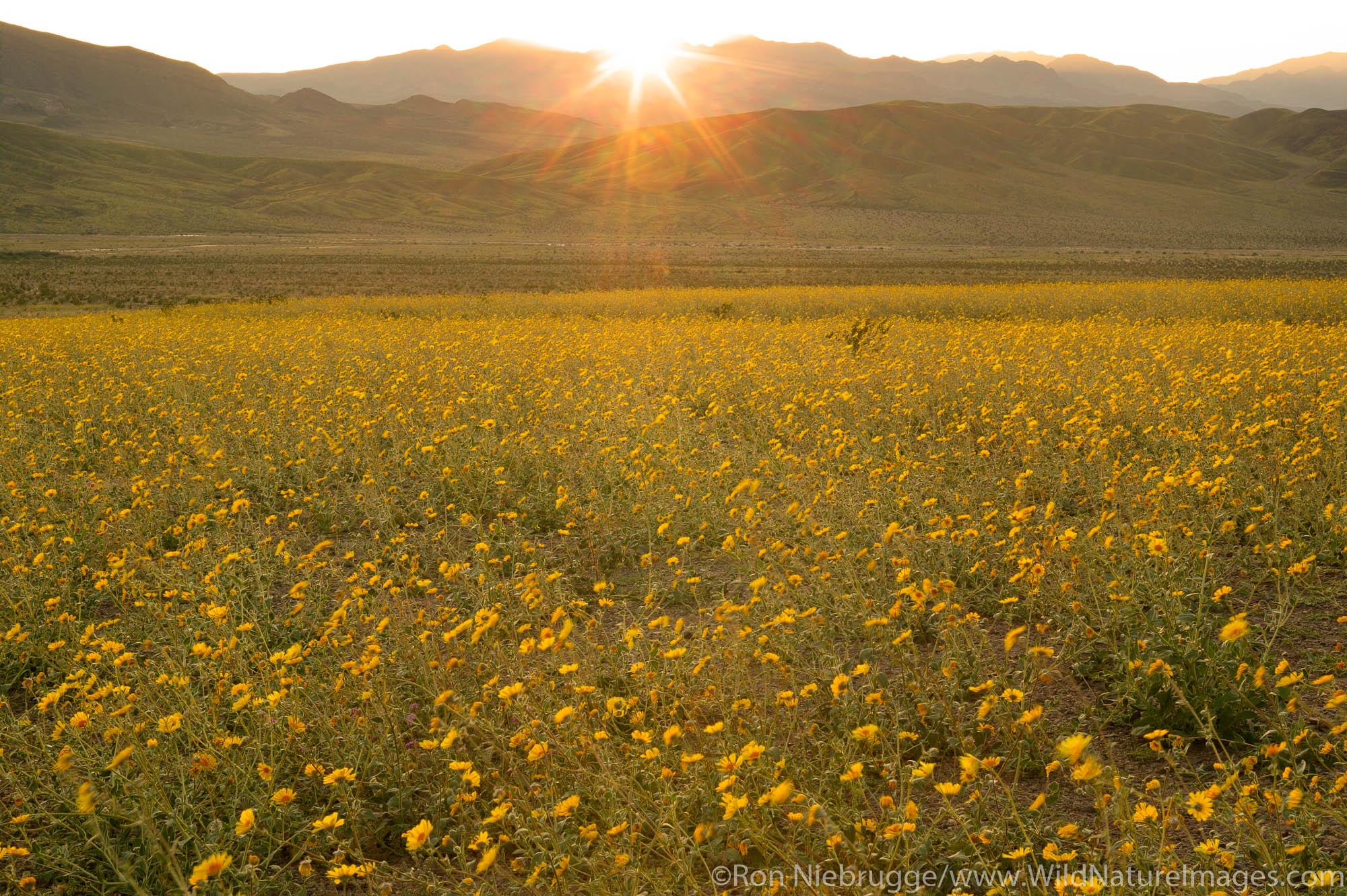 Fields of hairy desert sunflower, in Death Valley often called desert gold (Geraea canescens), and the Panamint Range, near Ashford...
