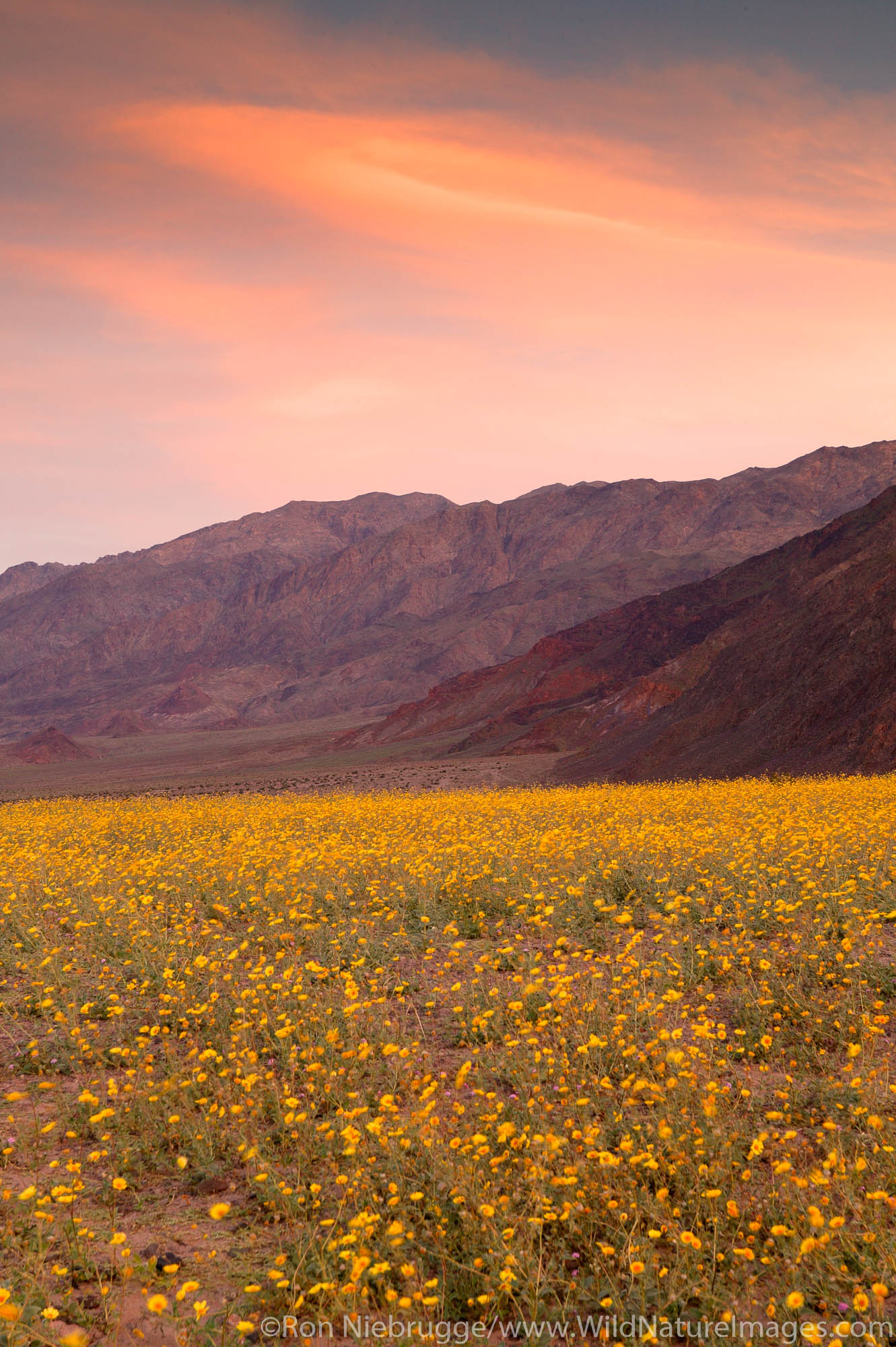 Fields of hairy desert sunflower, in Death Valley often called desert gold (Geraea canescens), and the Black Mountains, near...