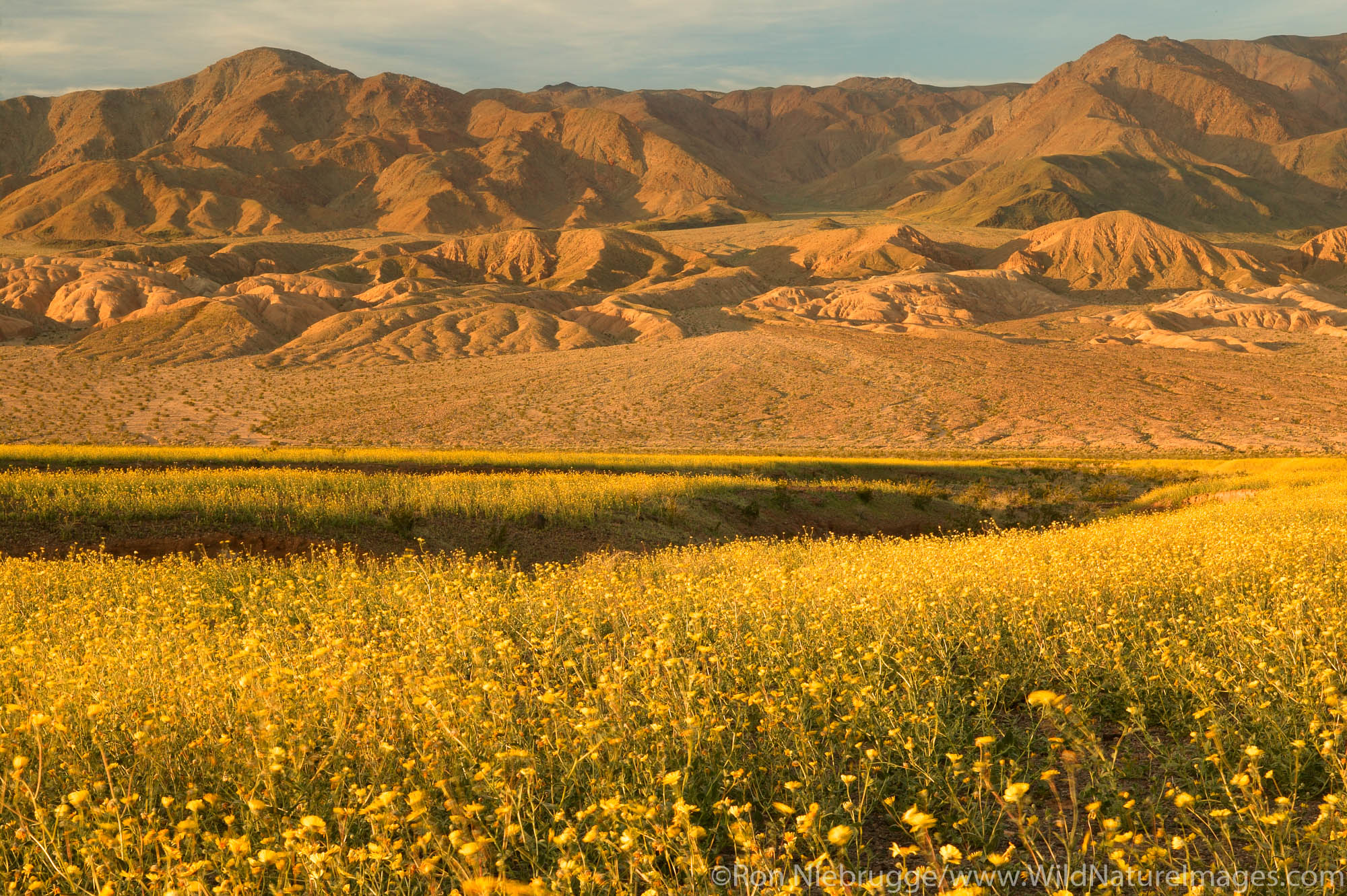 Fields of hairy desert sunflower, in Death Valley often called desert gold (Geraea canescens), and the Owlshead Mountain from...