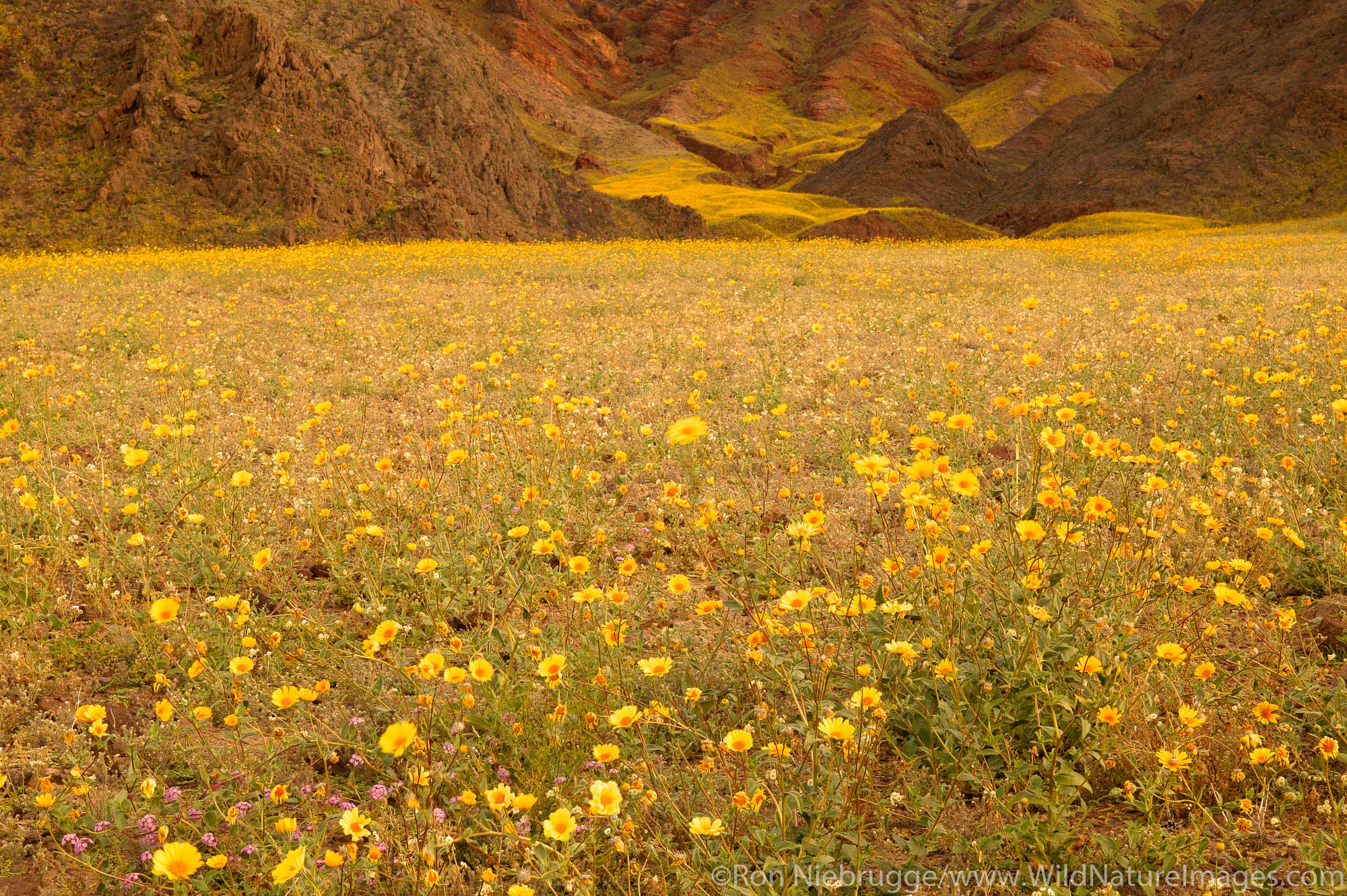Fields of hairy desert sunflower, in Death Valley often called desert gold (Geraea canescens), in the Black Mountains, near Ashford...