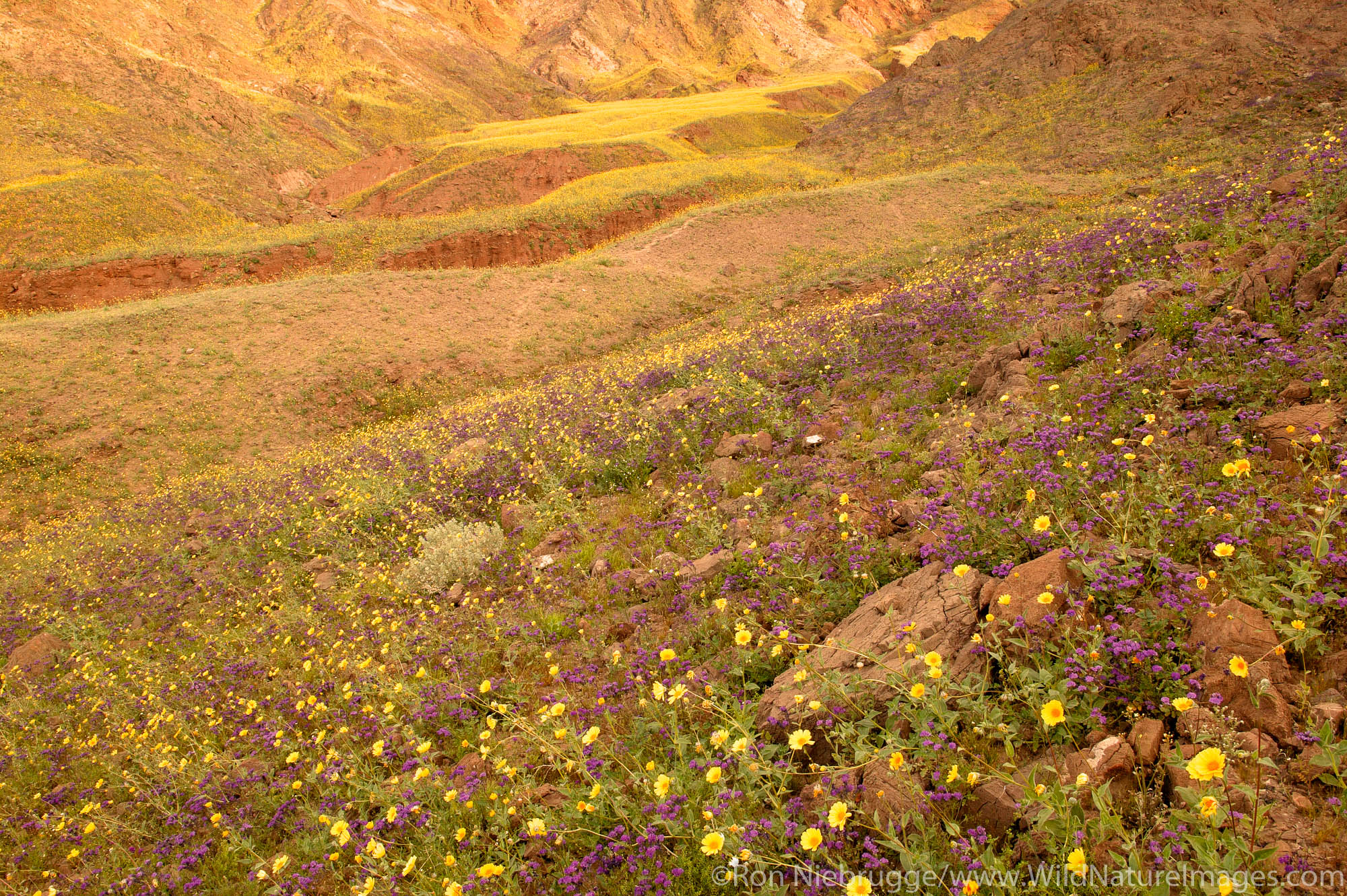 Fields of hairy desert sunflower, in Death Valley often called desert gold (Geraea canescens) and Phacelia, in the Black Mountains...