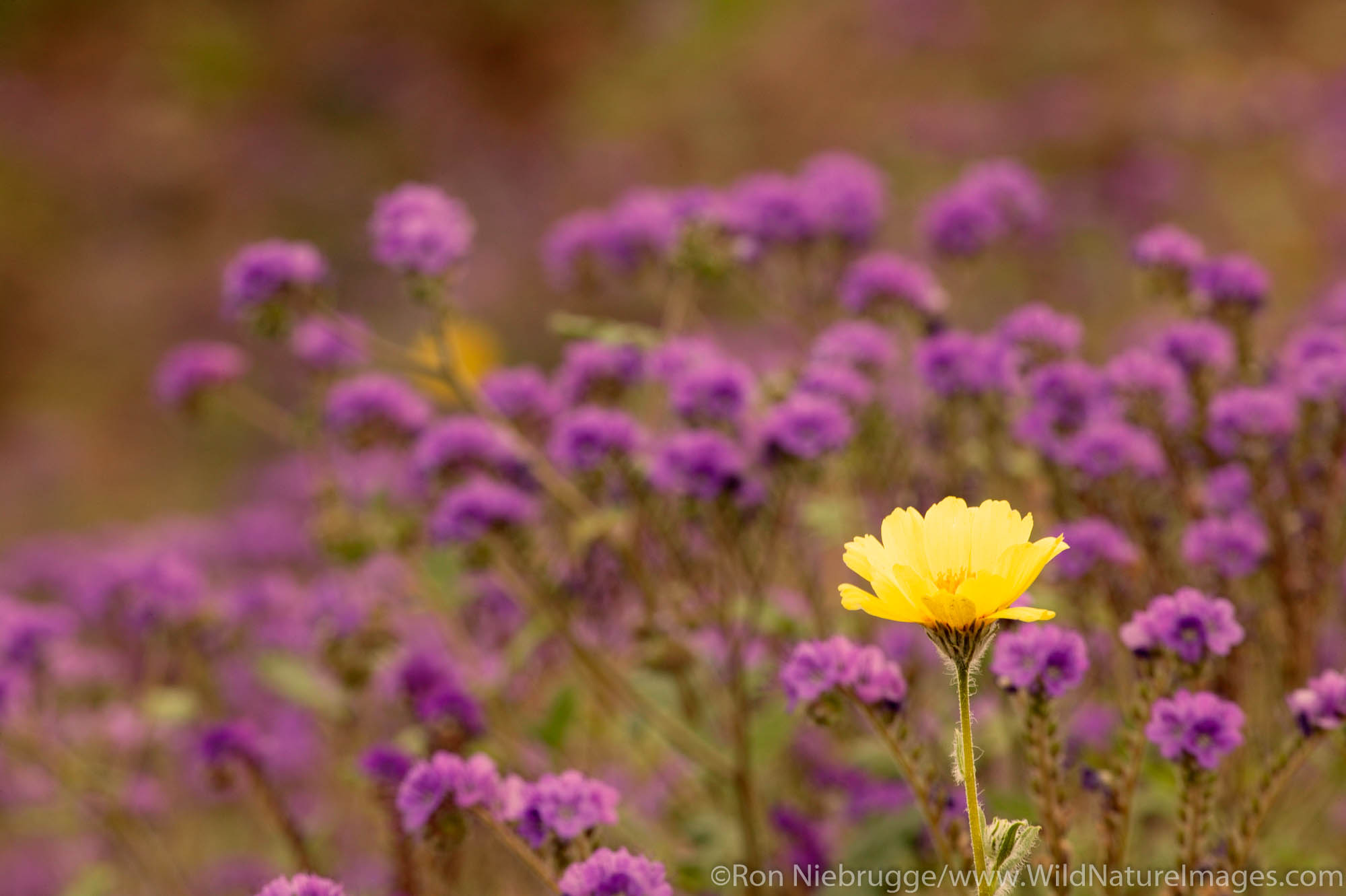 Hairy desert sunflower also called desert gold (Geraea canescens) with purple flowers, and Phacelia, Death Valley National Park...