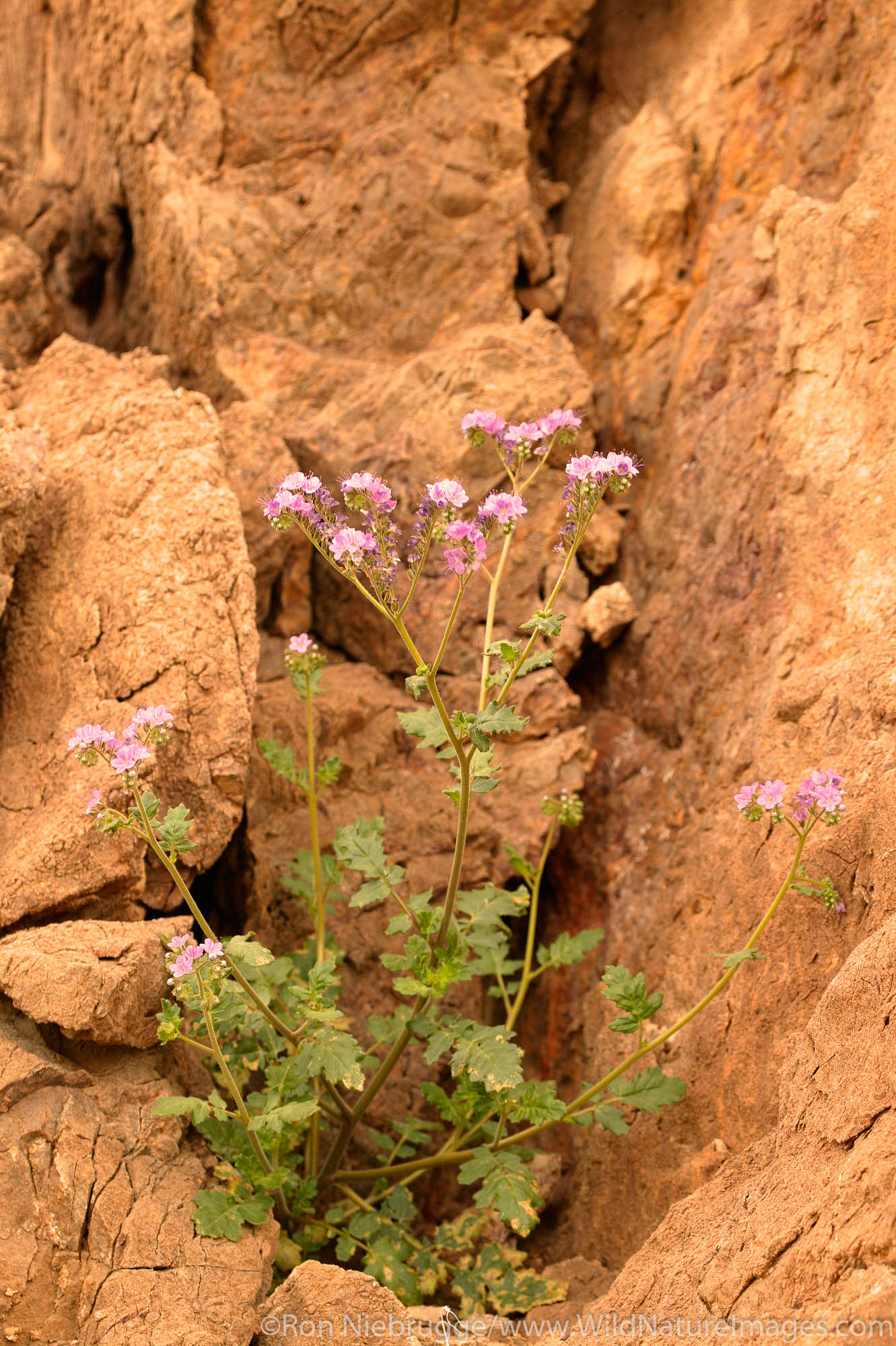 Phacelia in the Black Mountains, Death Valley National Park, California.