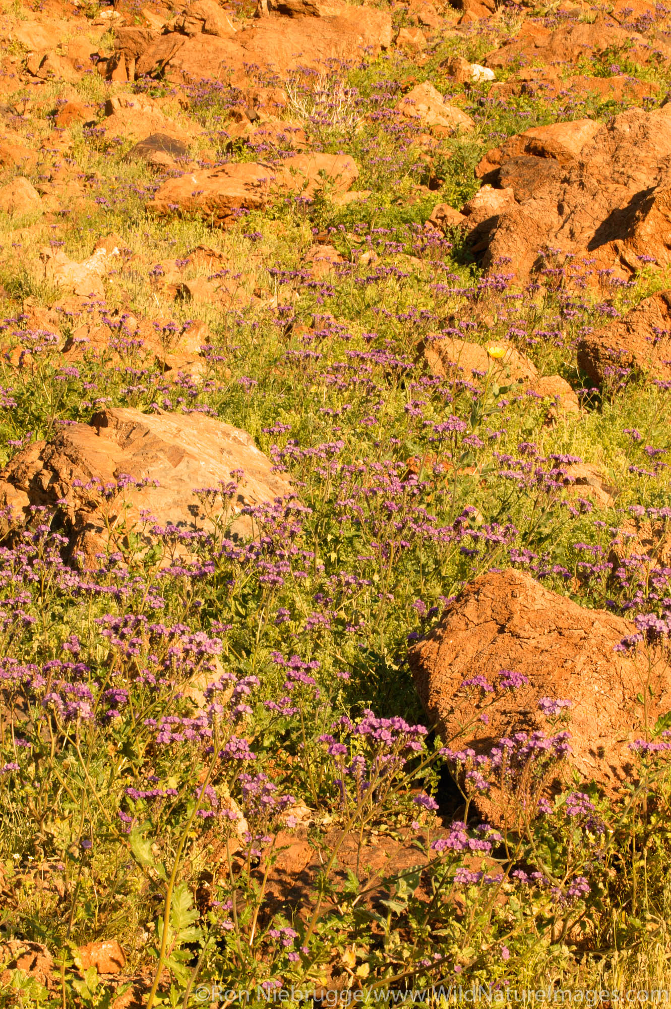 Phacelia, Death Valley National Park, California.