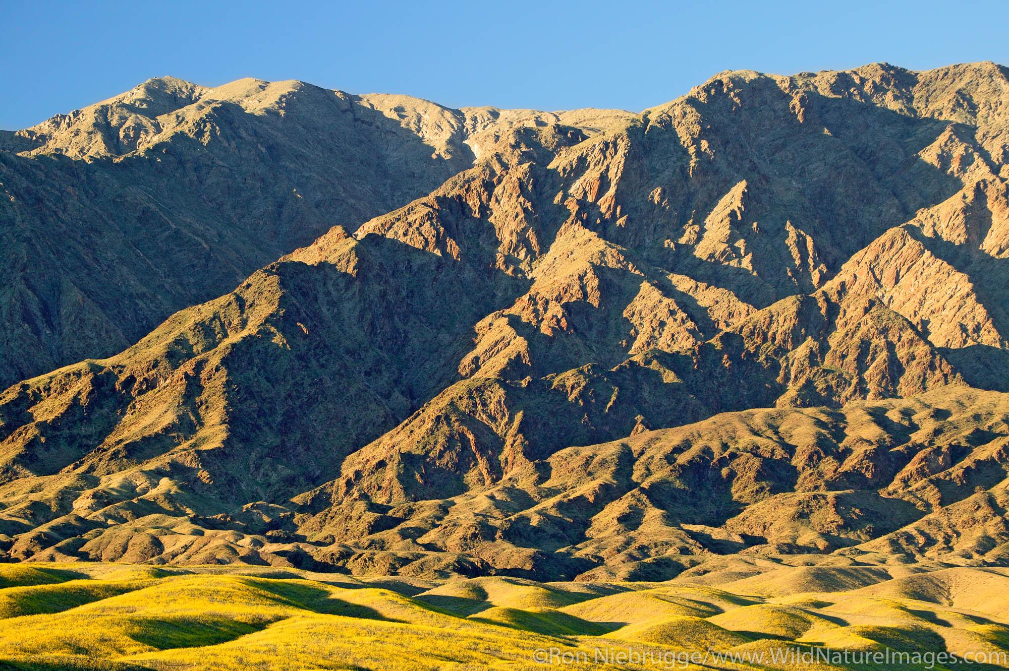 Fields of hairy desert sunflower, in Death Valley often called desert gold (Geraea canescens), in the Black Mountains, near Ashford...