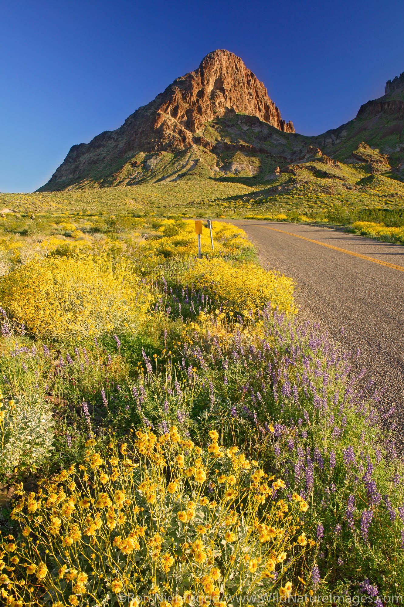 Wildflowers along Route 66, near Oatman, Black Mountains, Arizona.