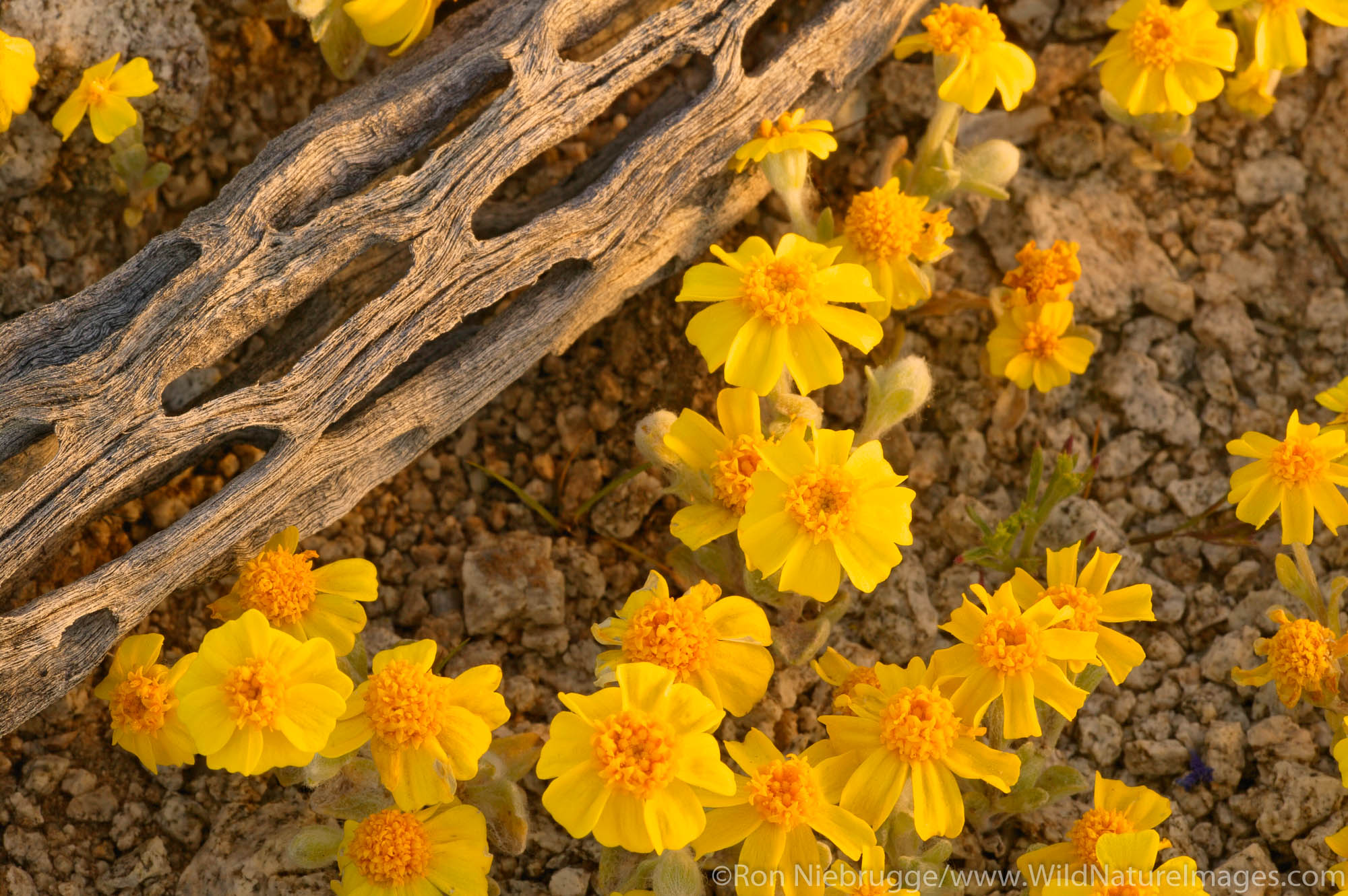 Wallace's Woolly Daisy (Eriophyllum wallacei) in the Newberry Mountains along Christmas Tree Pass Road Lake Mead Recreation Area...
