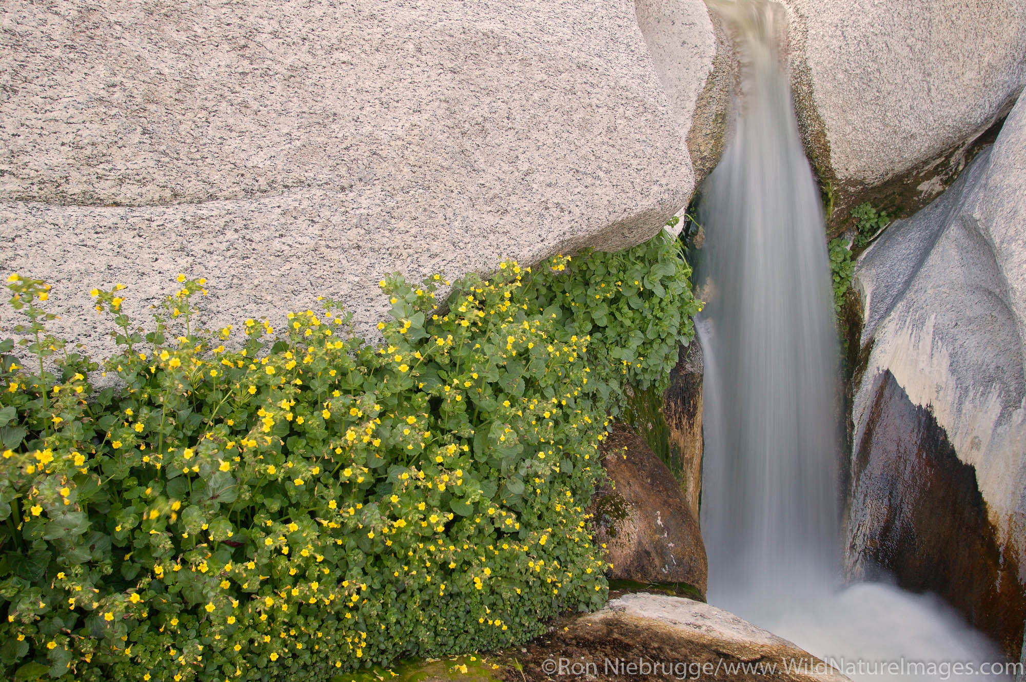 Wildflowers and a stream flows through Sacatone Canyon in the Newberry Mountains along Christmas Tree Pass Road, Lake Mead Recreation...